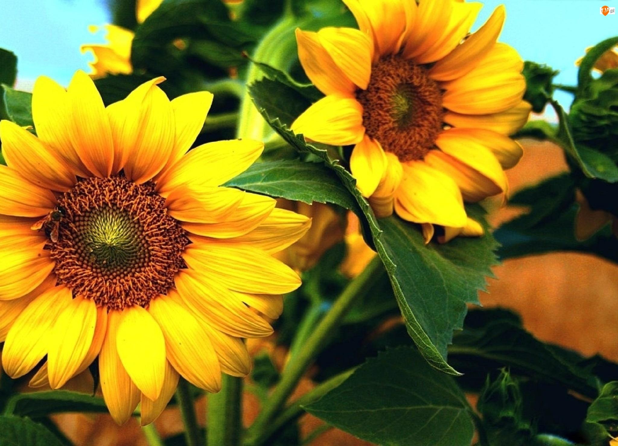 Słonecznik, Żółte, Kwiaty