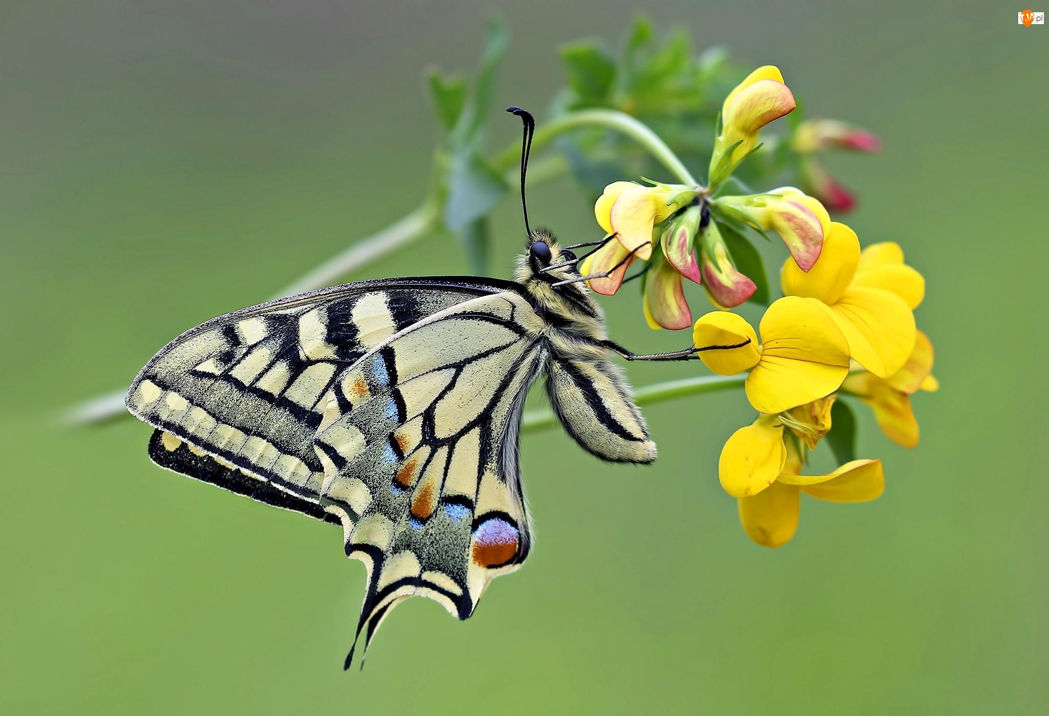 Kwiat, Paź, Królowej, Motyl