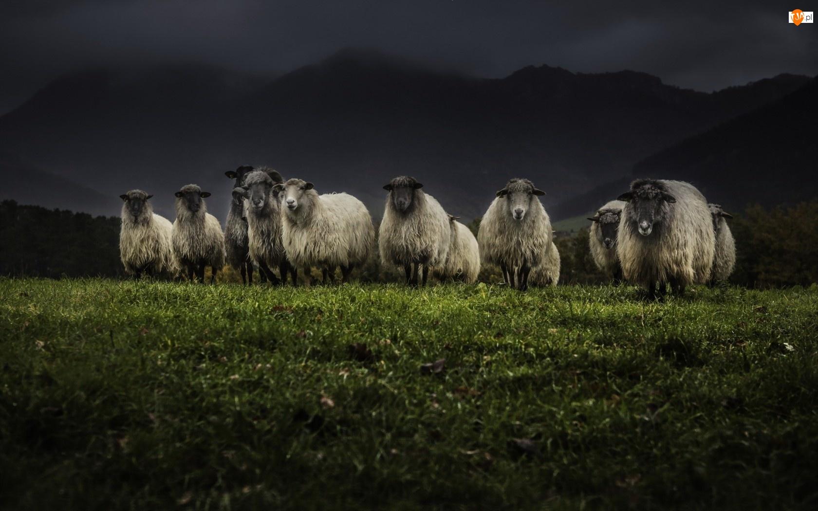 Łąka, Owce
