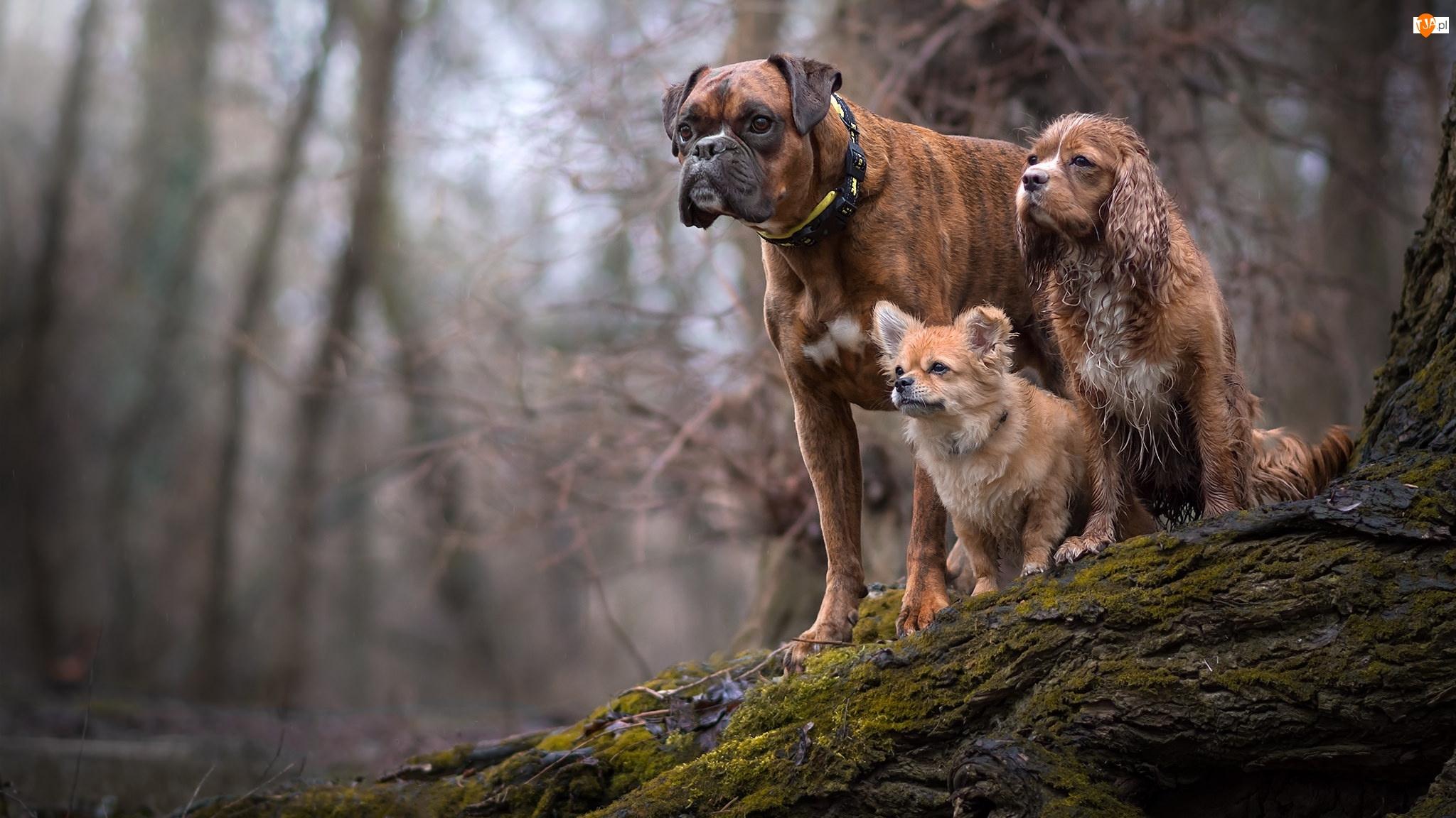 Drzewo, Psy, Bokser