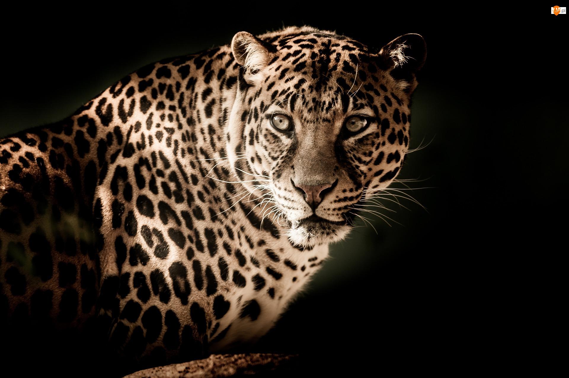 Oczy, Jaguar amerykański, Otwarte
