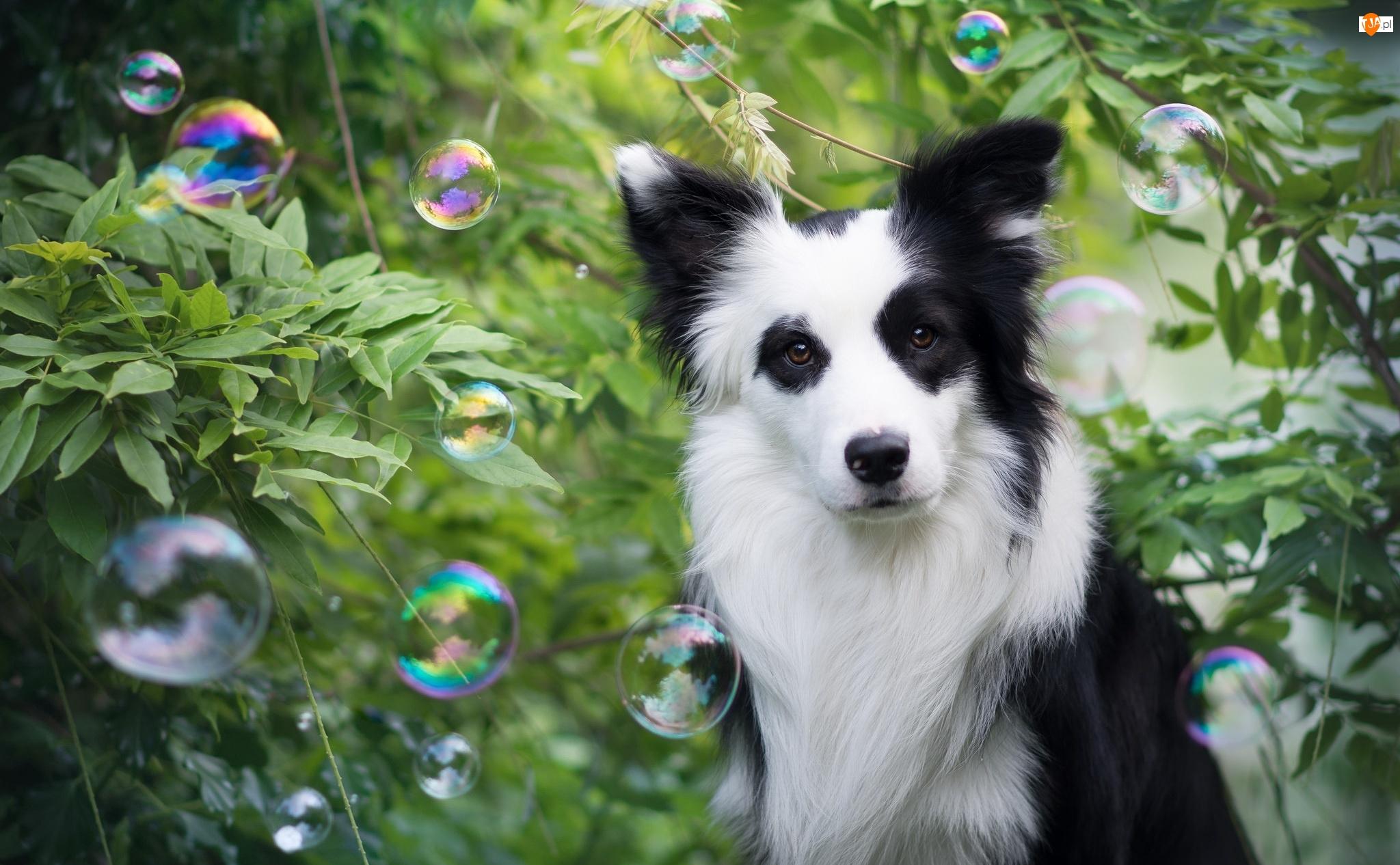 Zarośla, Pies, Border collie, Bańki