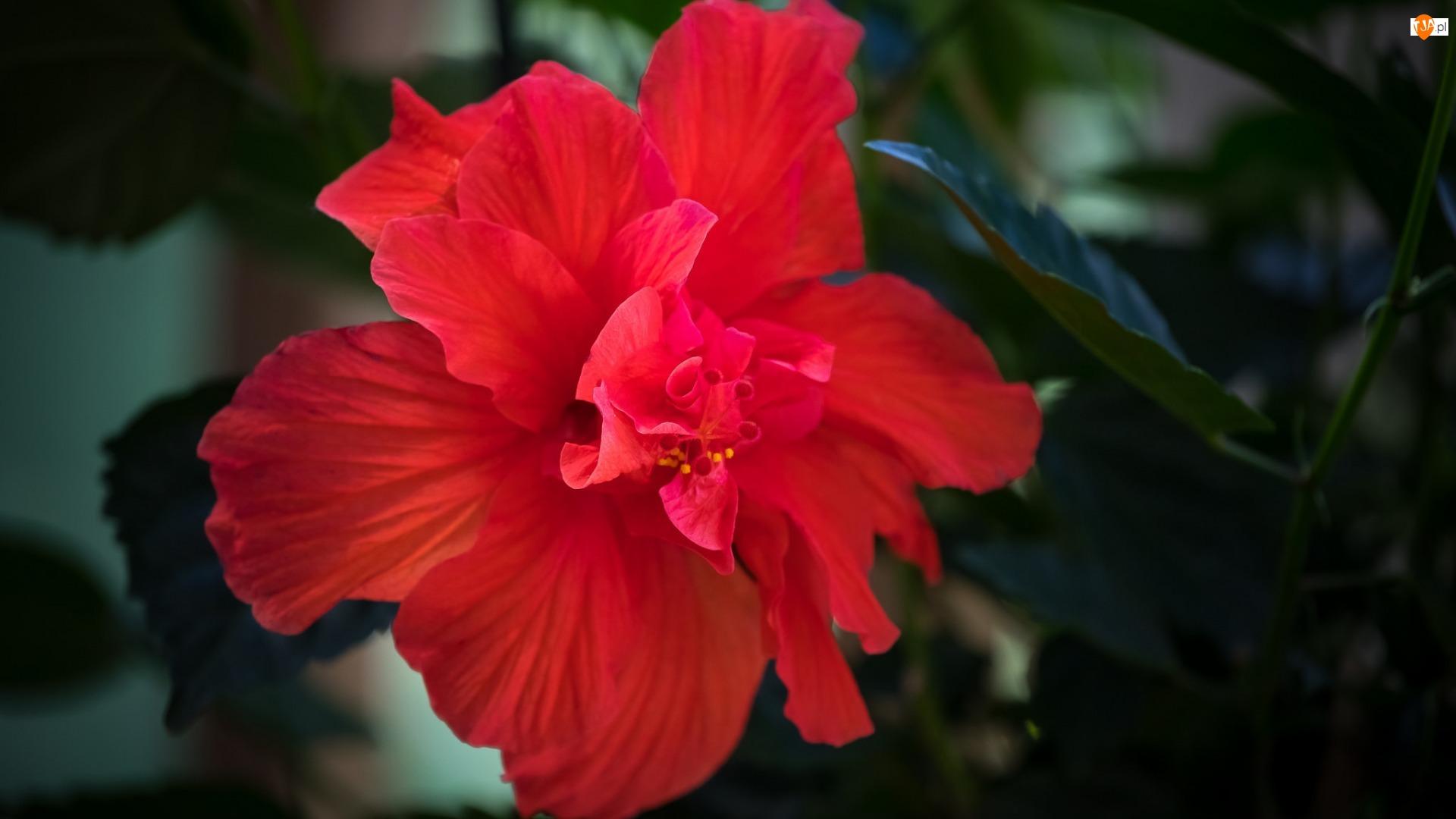 Czerwony, Rozmycie, Hibiskus, Kwiat, Liście