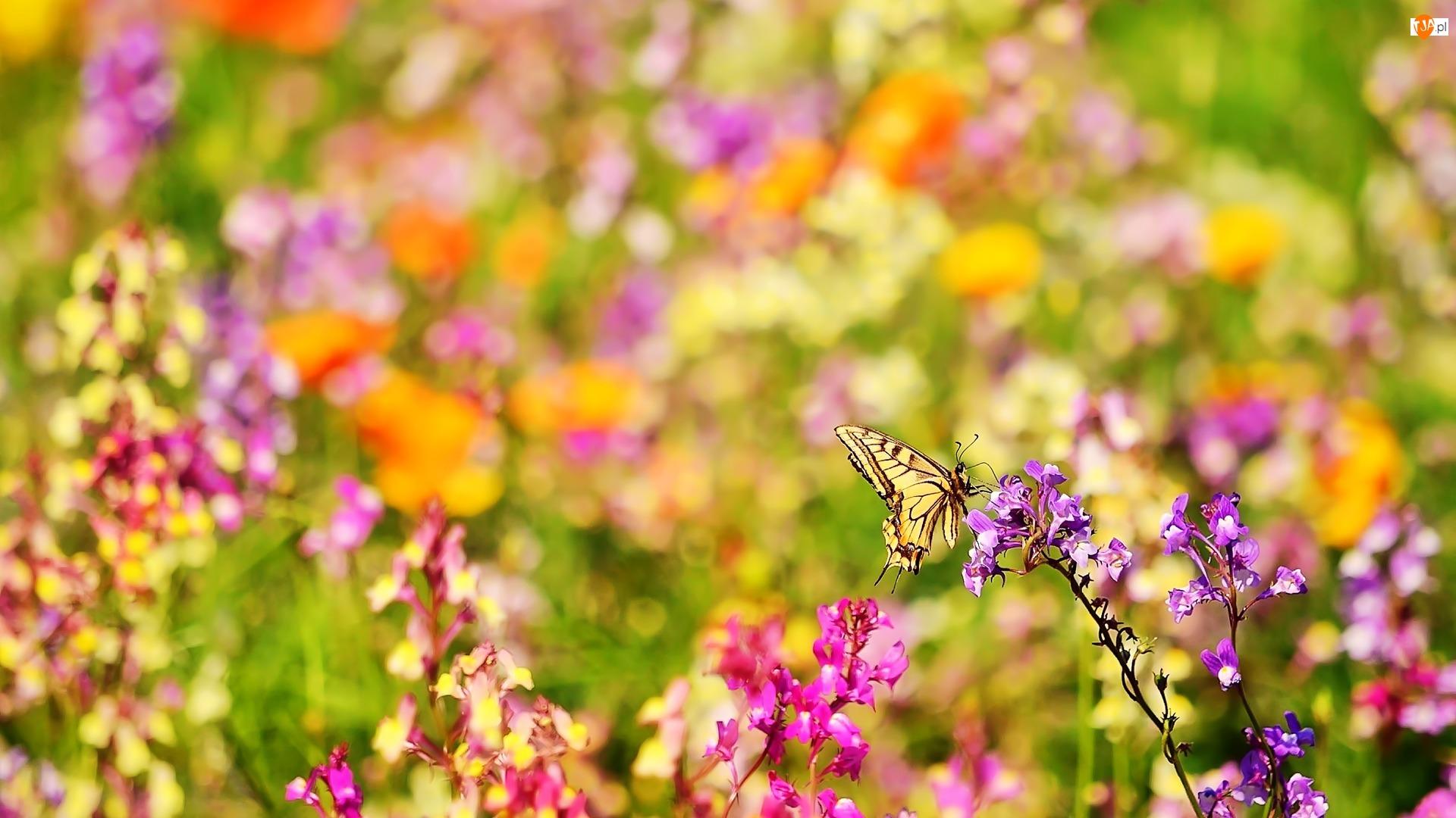 Paź królowej, Kolorowe, Kwiaty, Motyl