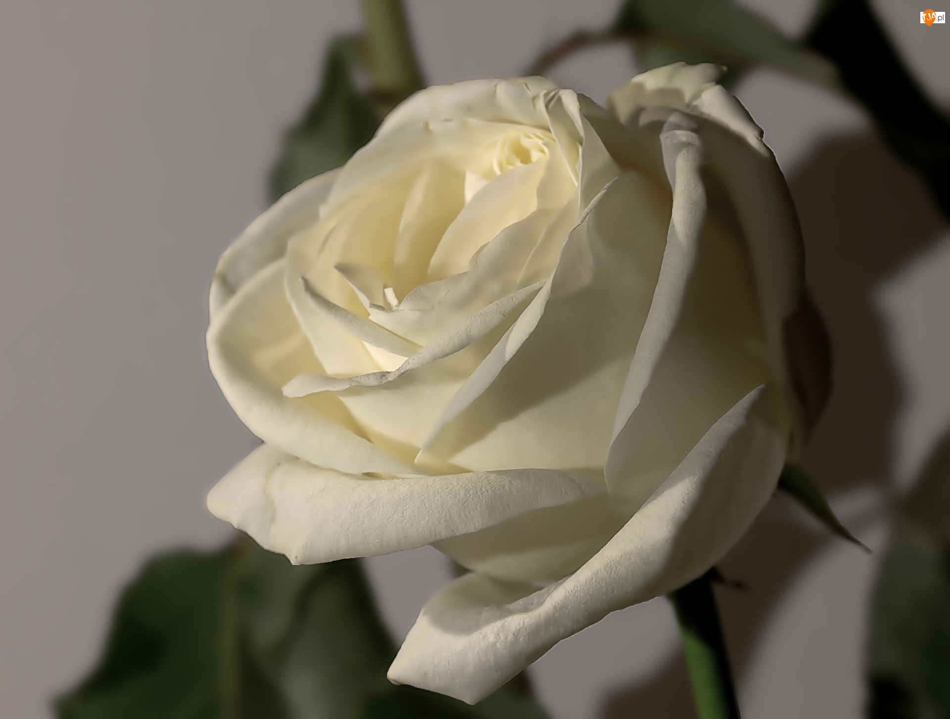 Róża, Biała