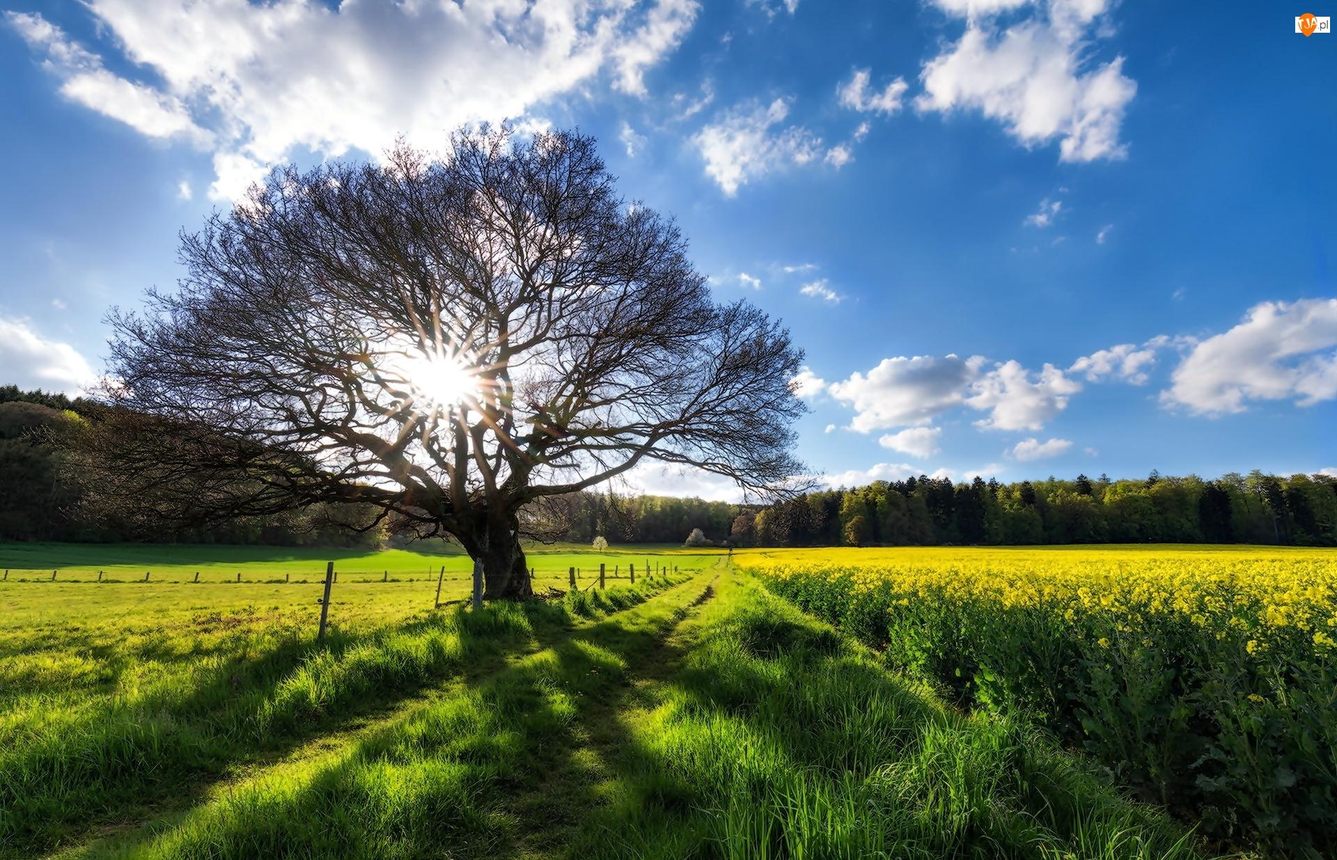 Drzewo, Pole, Rzepak, Droga