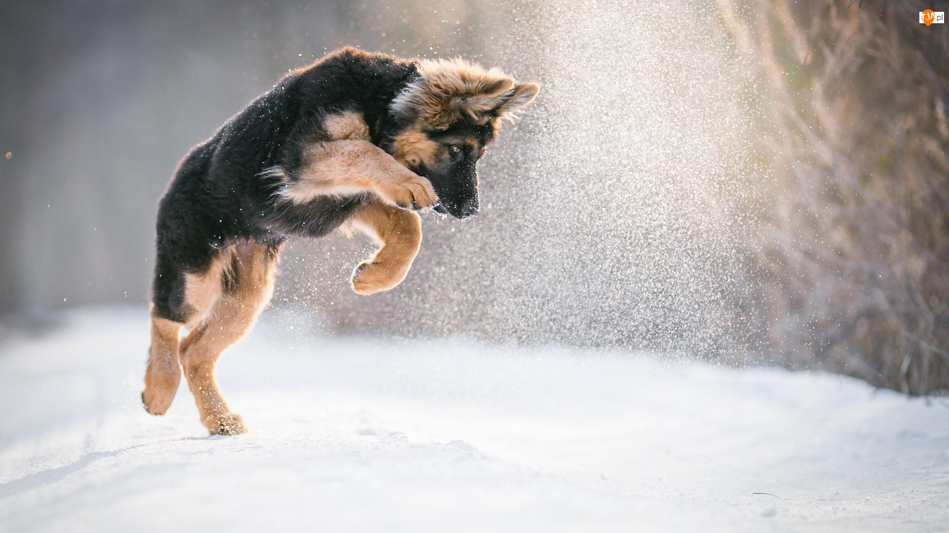 Śnieg, Szczeniak, Owczarek niemiecki