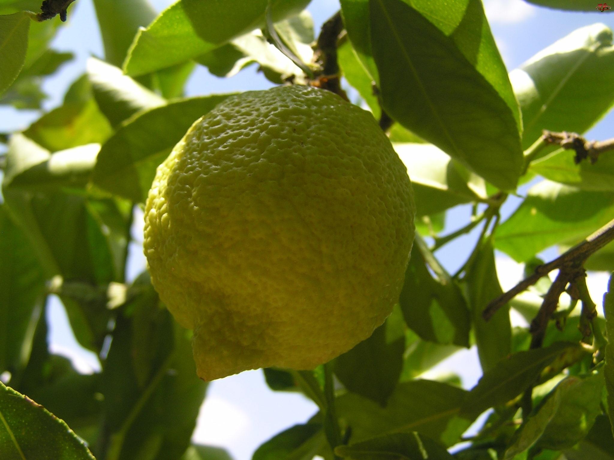 Owoc, Drzewko, Cytryny