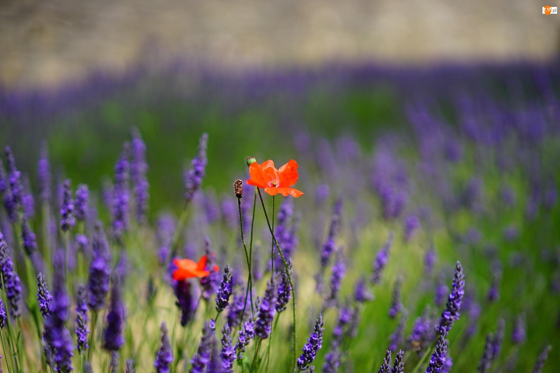 Lawendy, Czerwone, Maki, Kwiaty