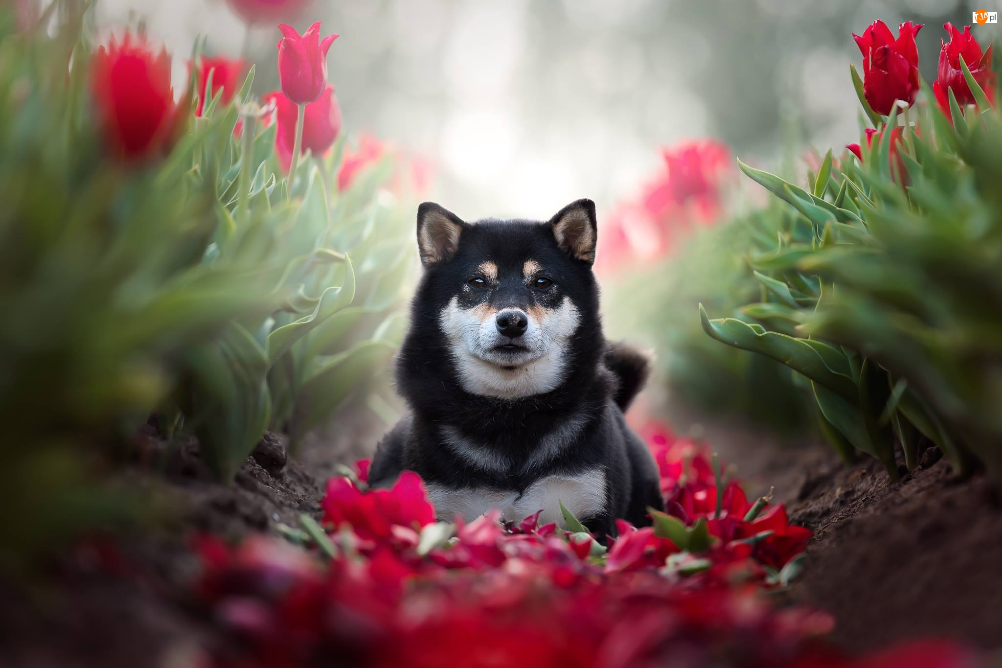 Tulipany, Pies, Shiba inu
