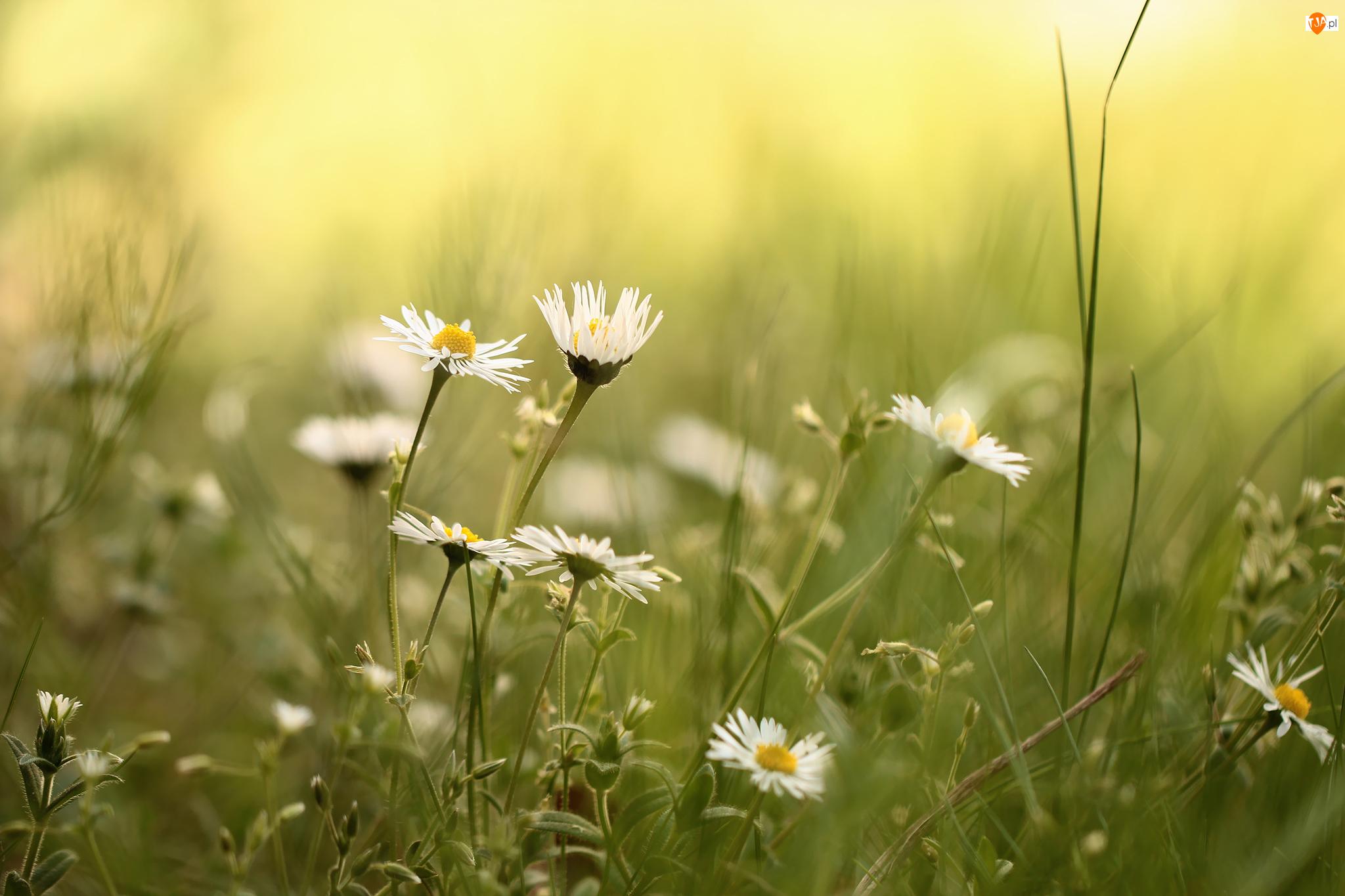 Kwiaty, Stokrotki, Trawa, Białe