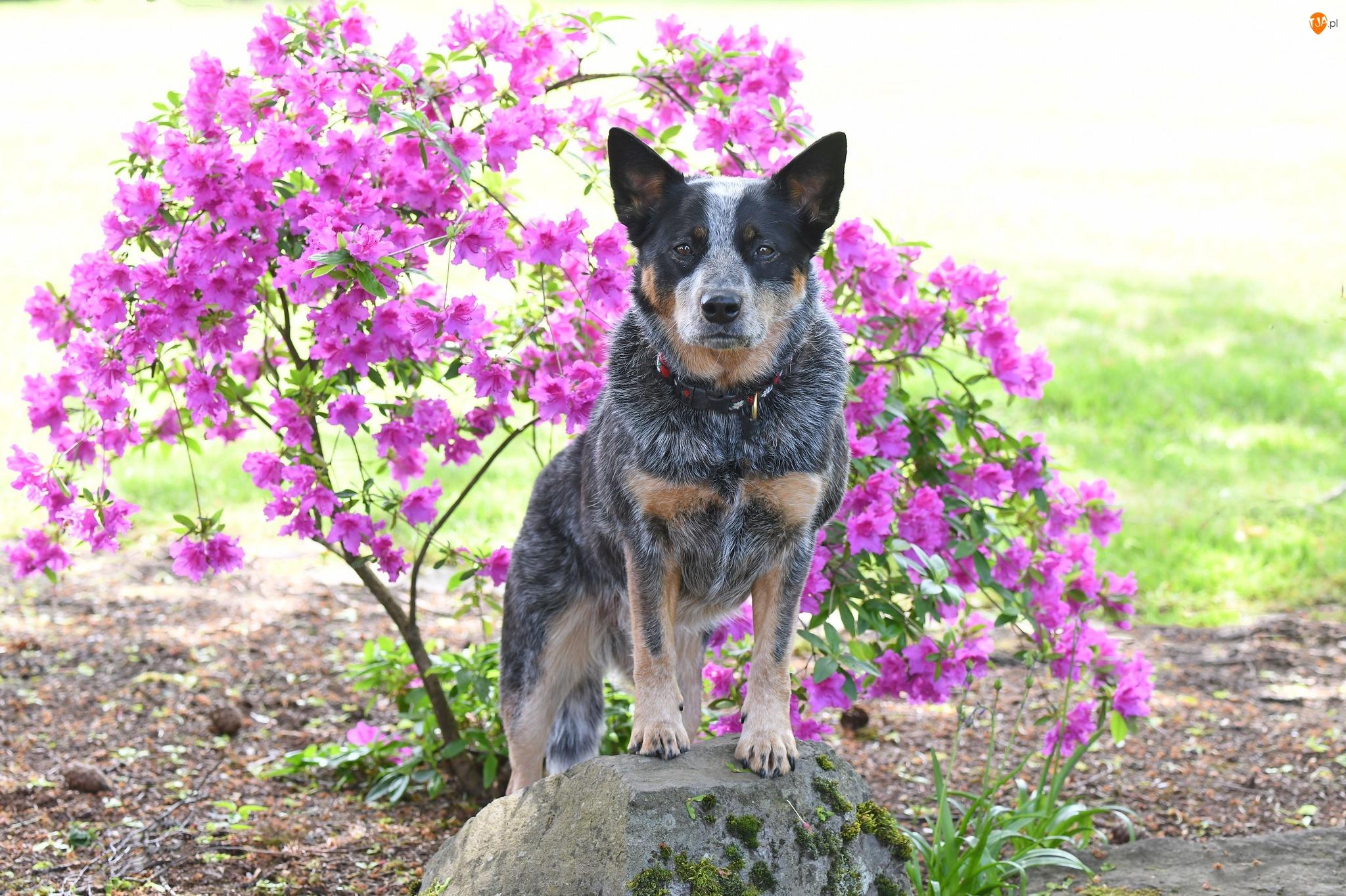 Obroża, Różanecznik, Australian cattle dog, Pies, Kwiaty