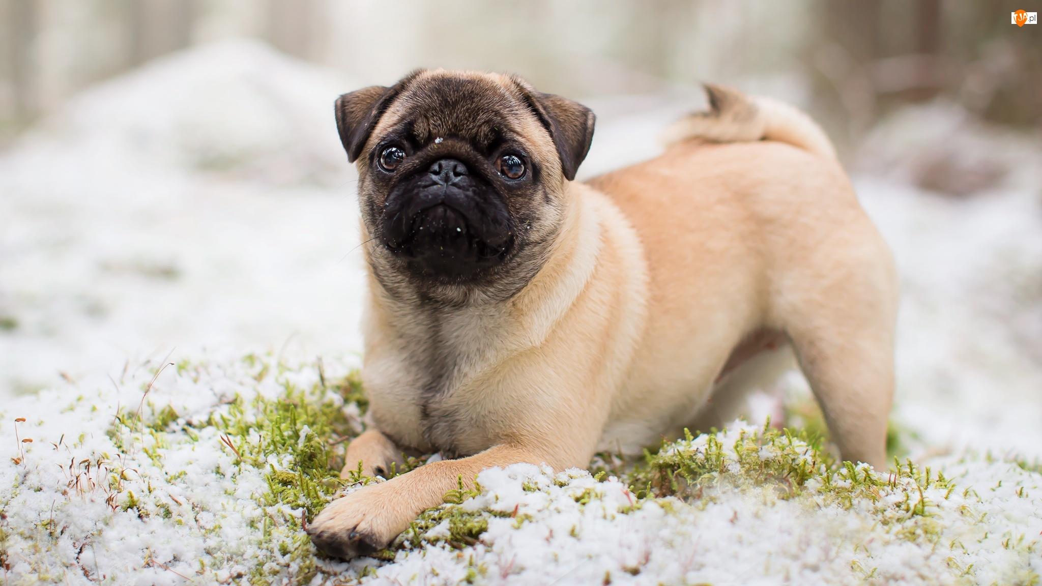 Śnieg, Pies, Mops, Trawa