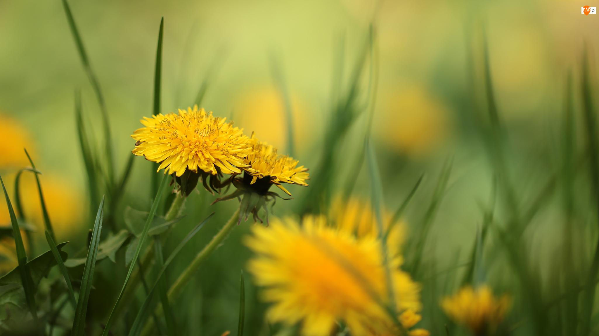 Kwiaty, Mniszek pospolity, Mlecze, Żółte