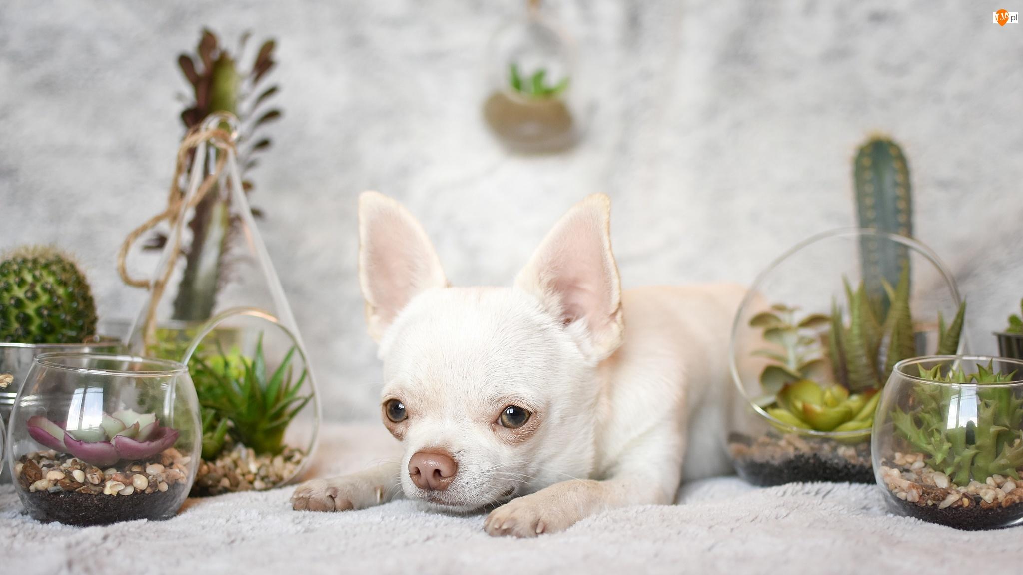 Rośliny, Pies, Chihuahua krótkowłosa, Dekoracje