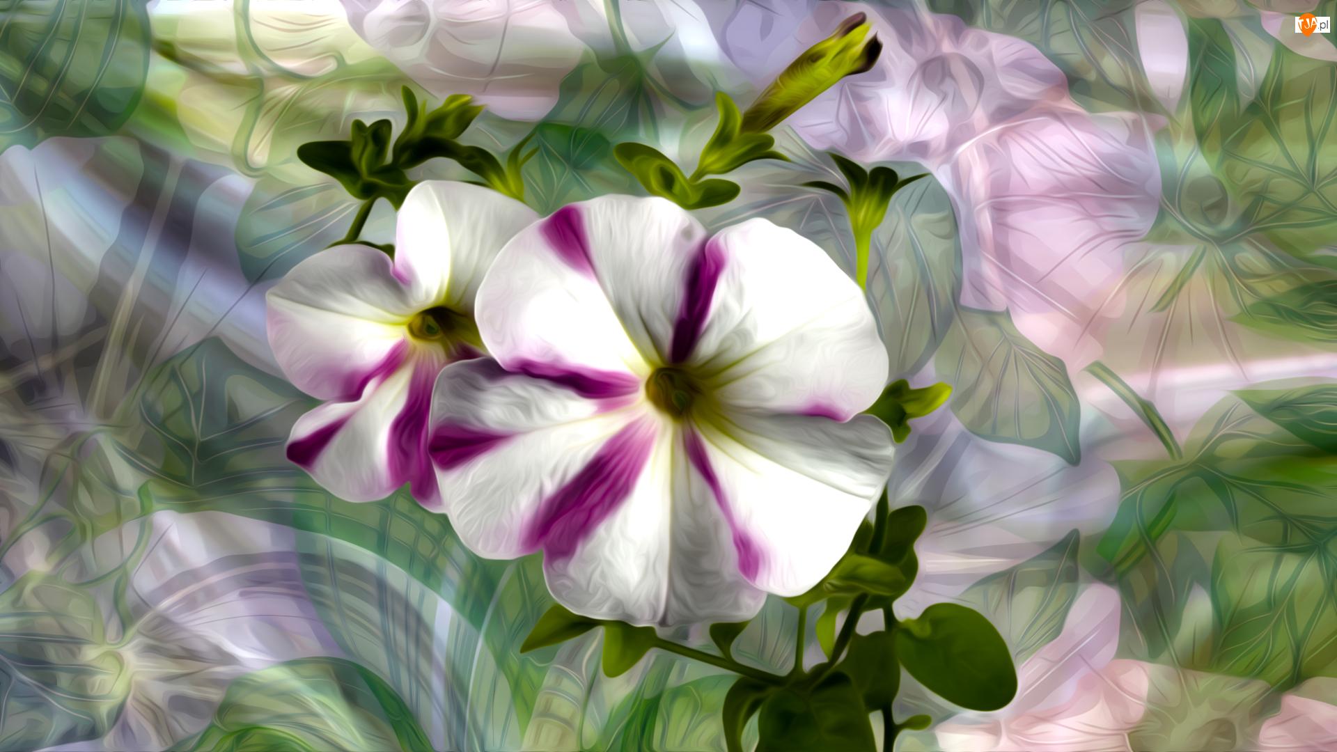 Petunie, Grafika, Kwiaty