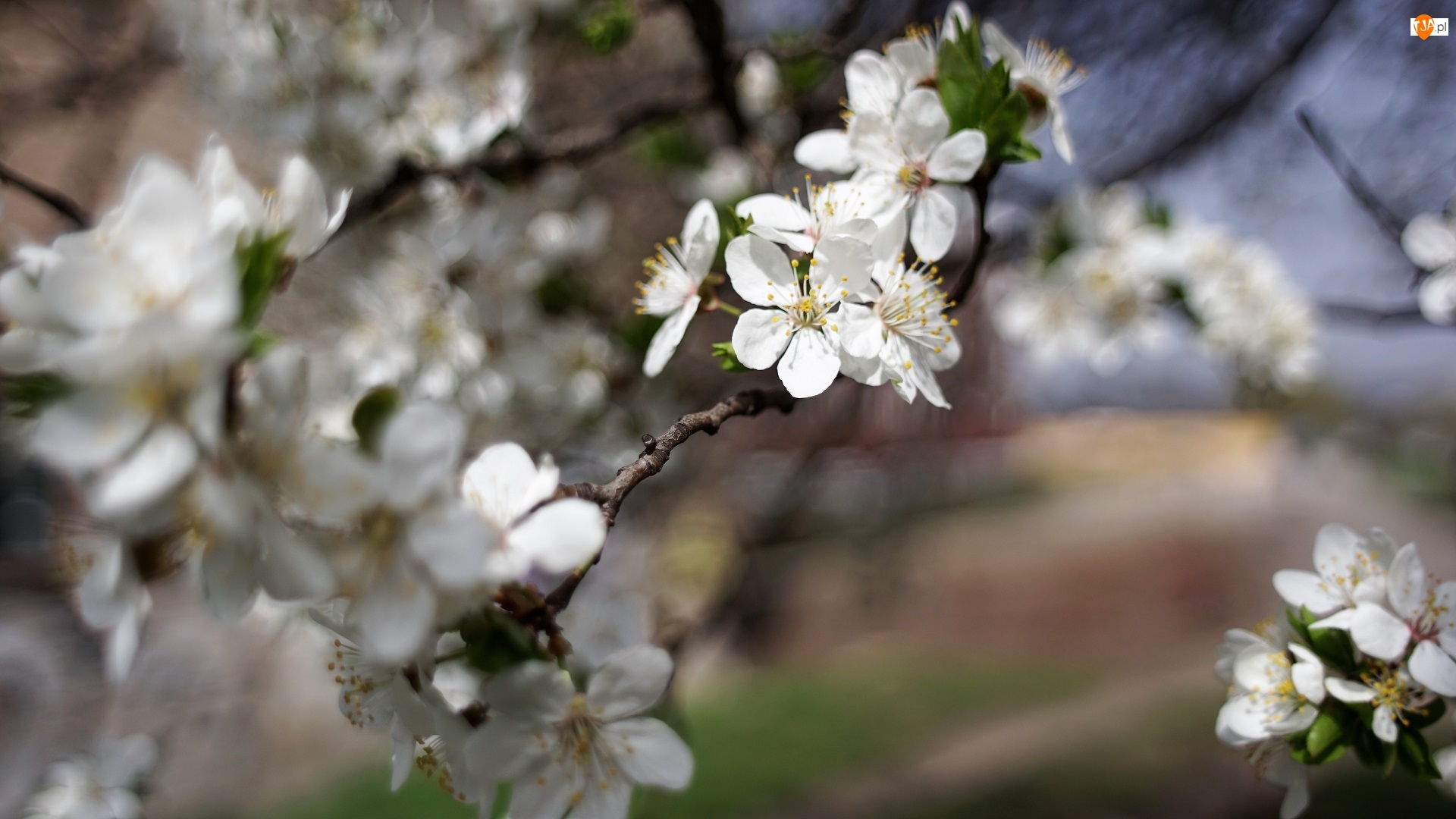 Kwiatki, Białe, Pręciki, Drzewo owocowe, Żółte, Gałązki