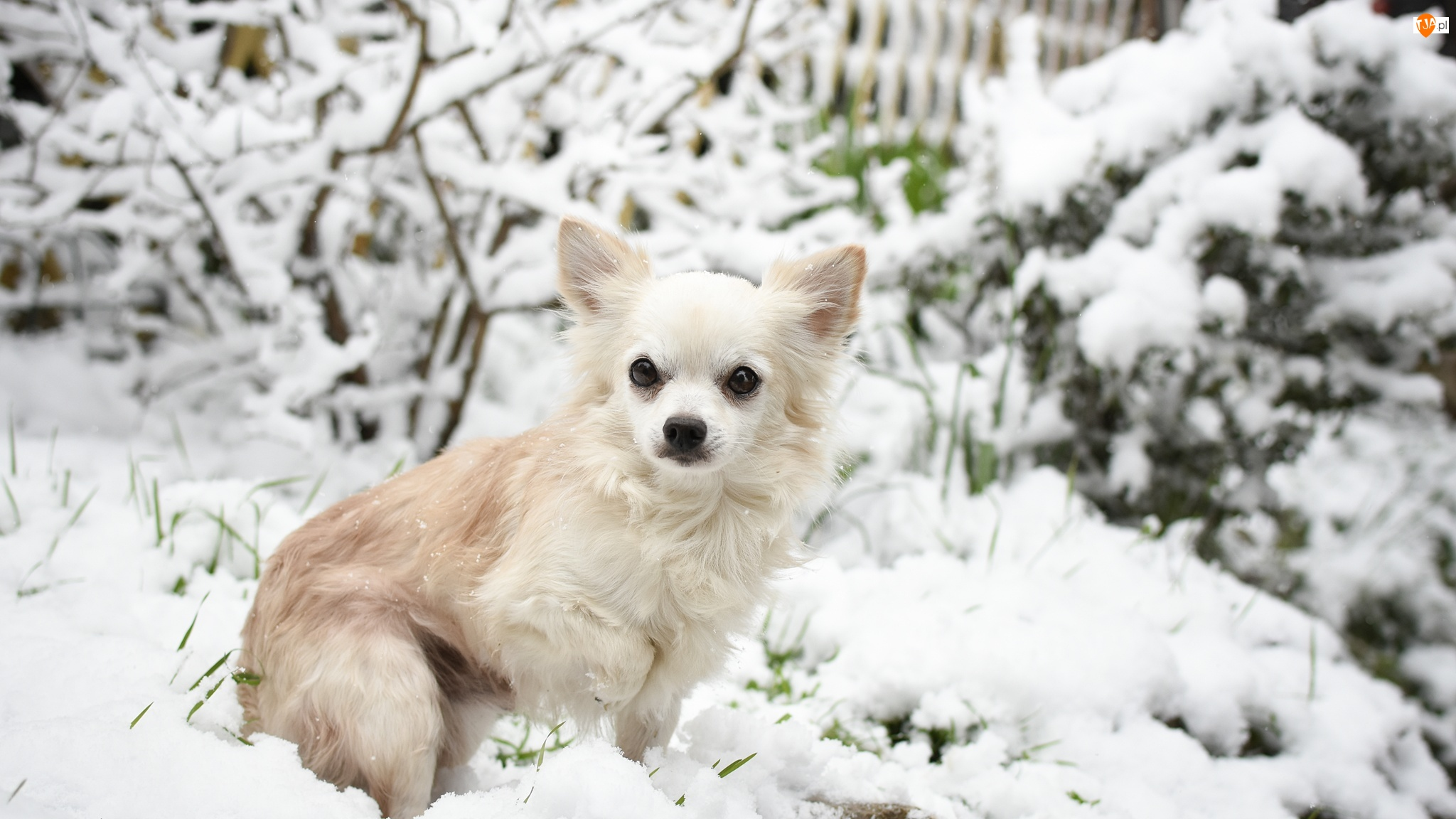 Śnieg, Pies, Chihuahua długowłosa
