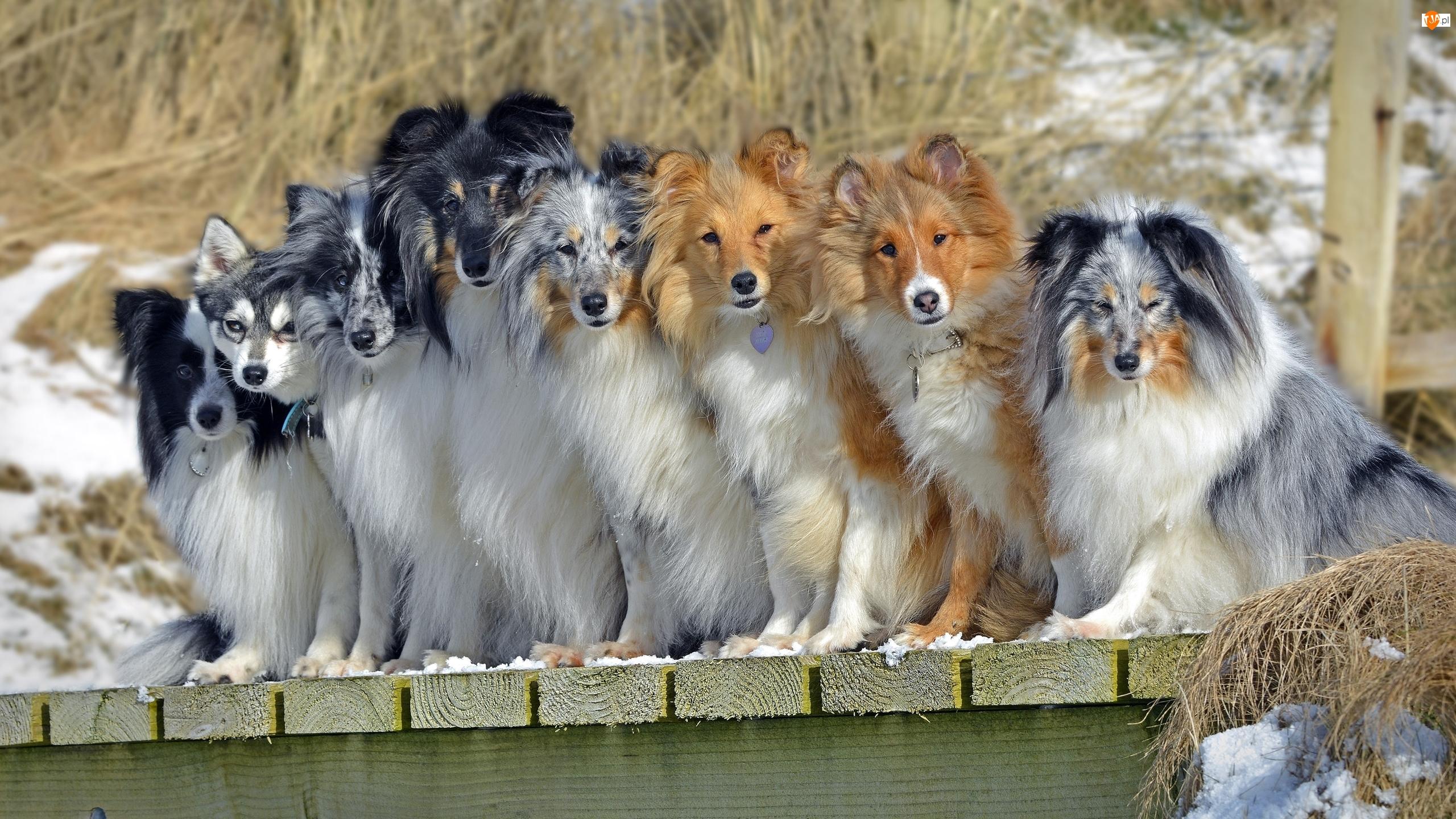 Kundelki, Psy, Owczarki szetlandzkie