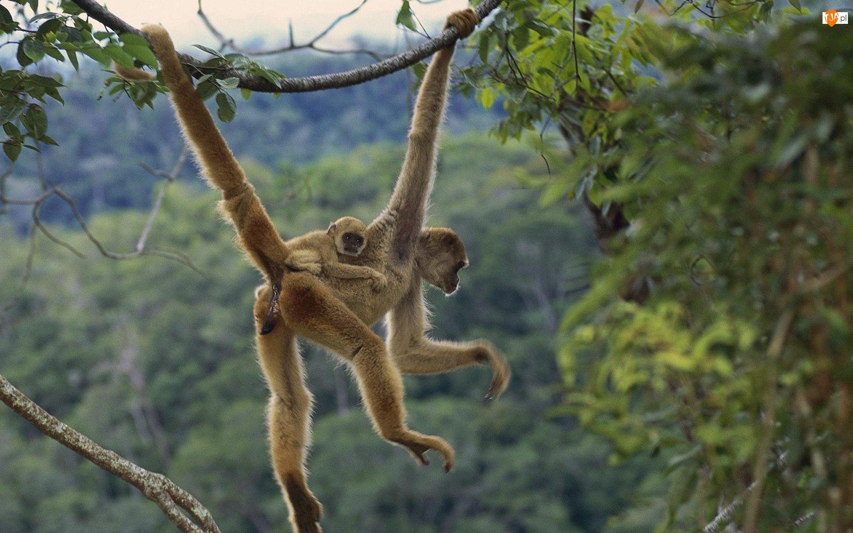 Drzewa, Małpy