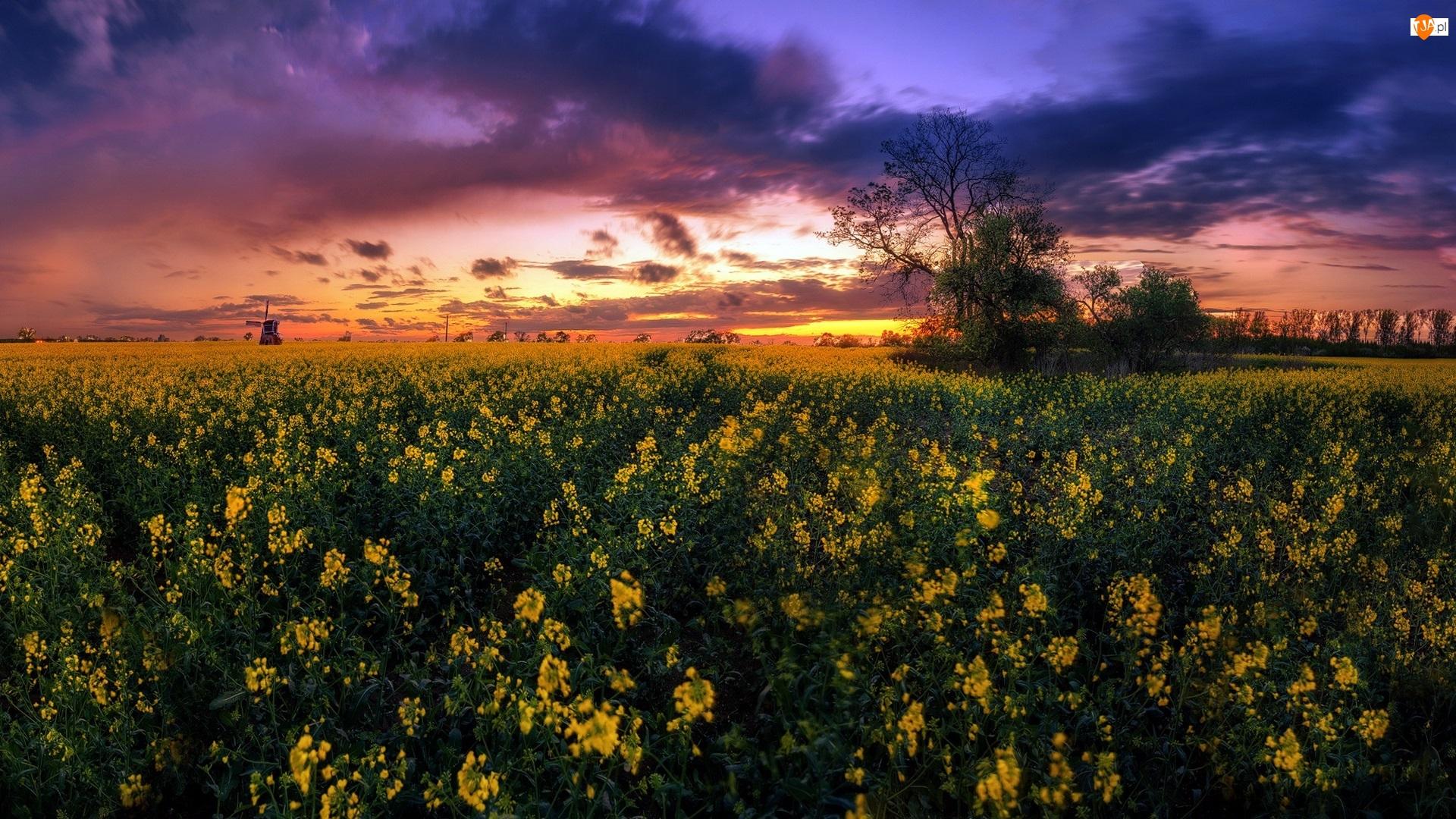 Kwiaty, Wiatrak, Pole, Zachód słońca, Drzewa