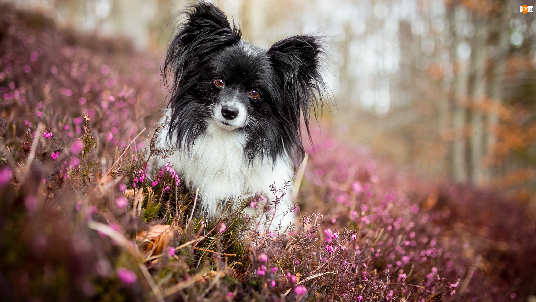 Wrzosy, Pies, Spaniel kontynentalny miniaturowy Papillon, Mordka