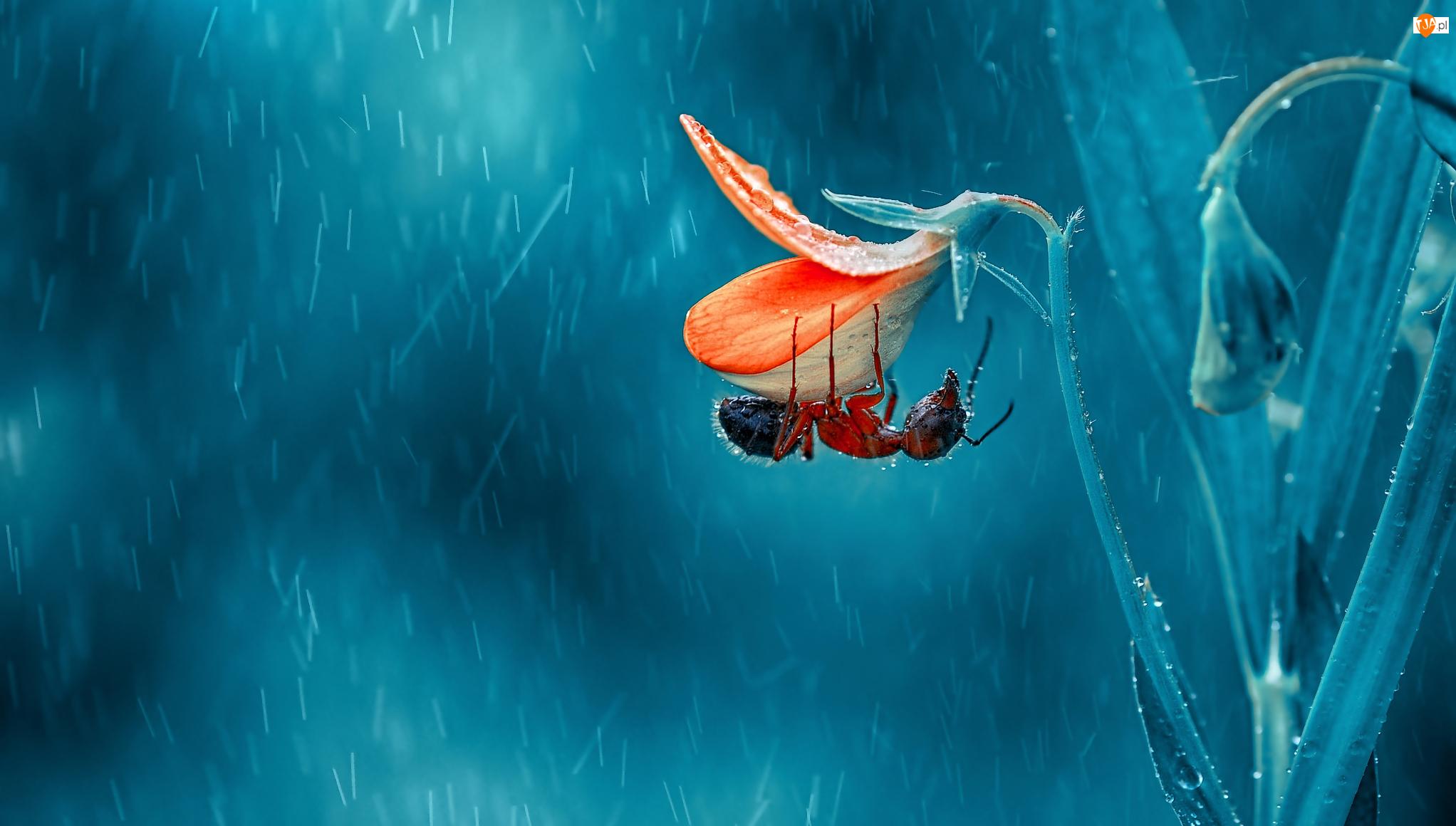 Deszcz, Kwiat, Mrówka, Makro