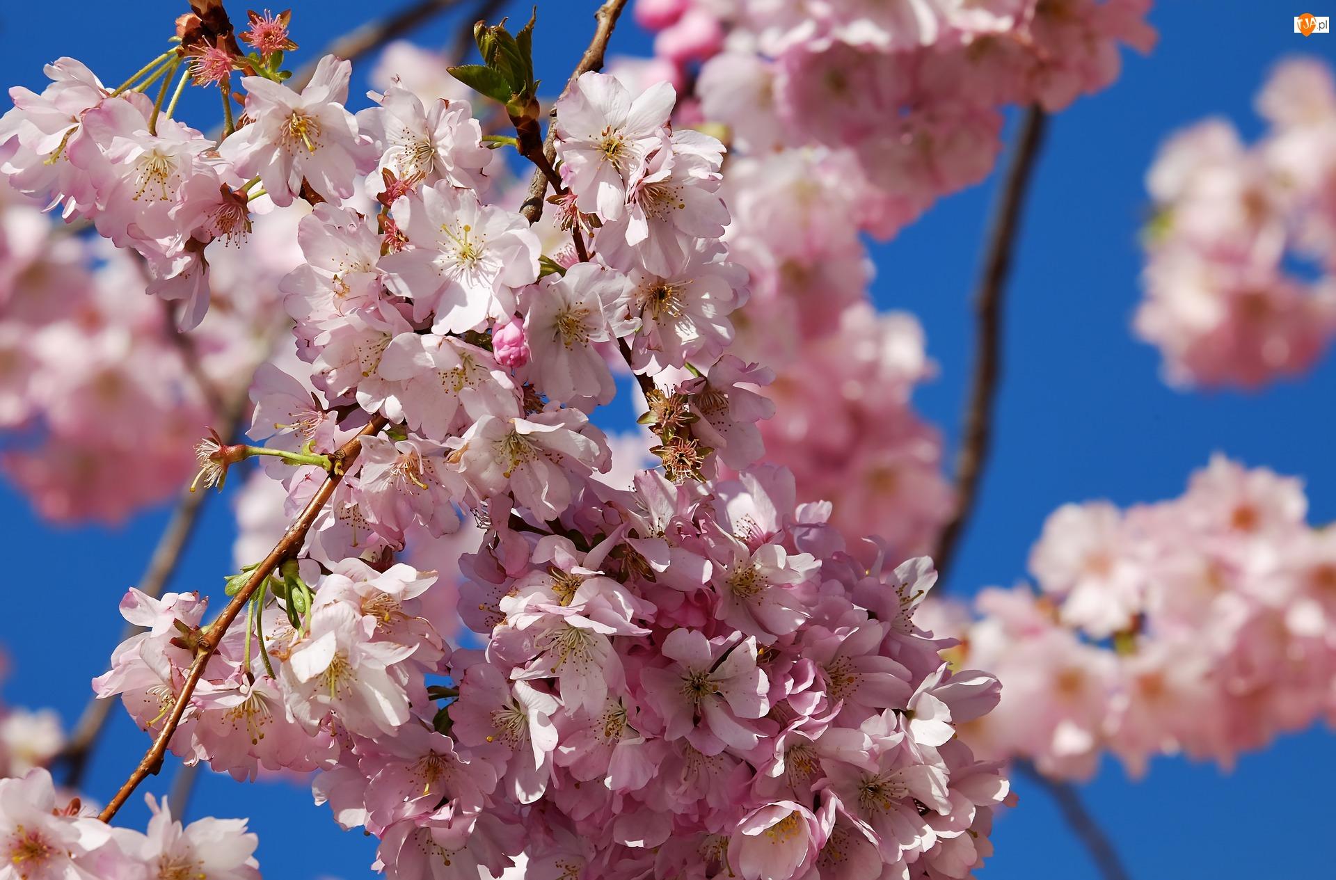 Kwiaty, Drzewo owocowe, Wiśnia, Różowe