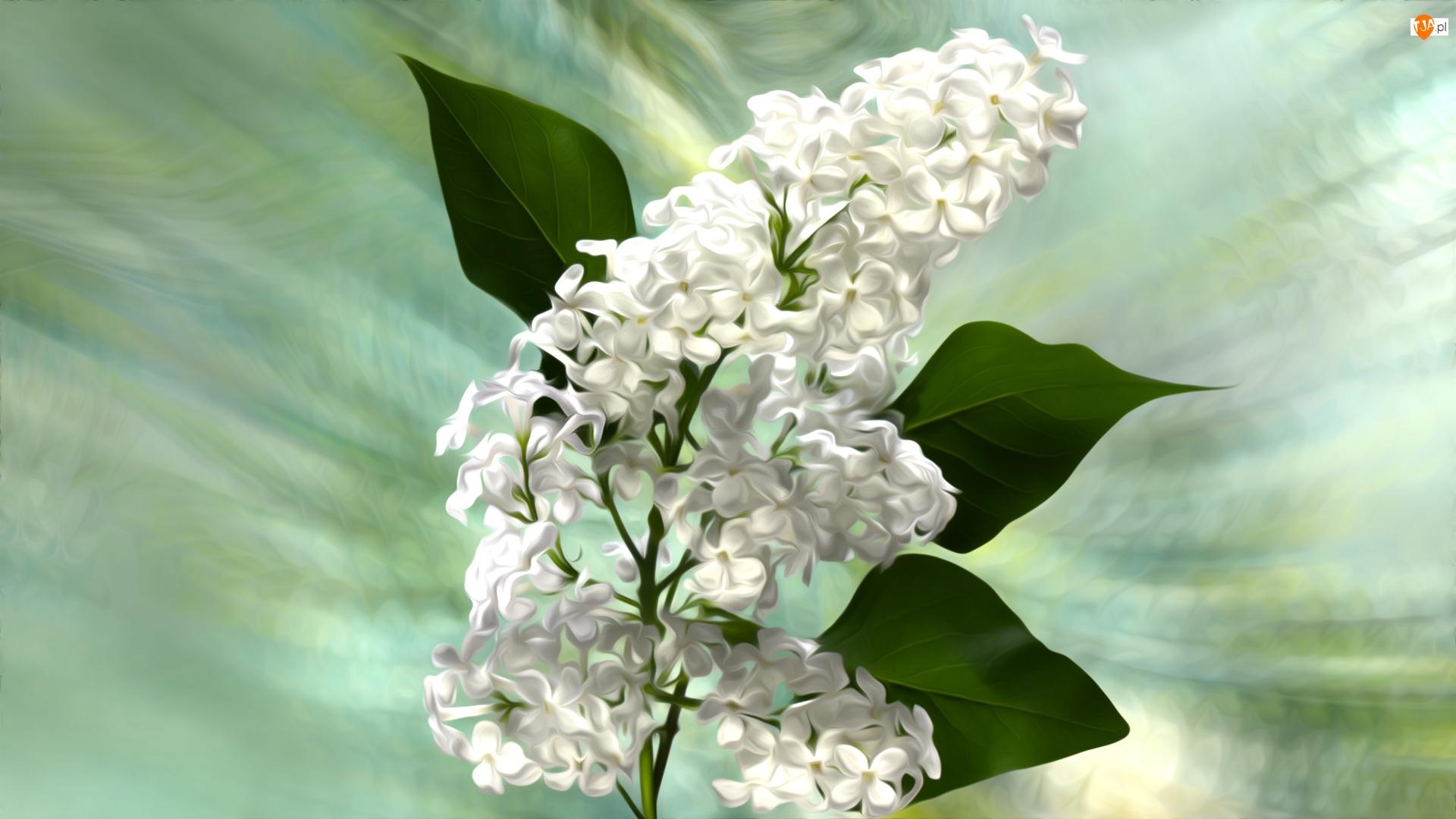 Bez, Grafika, Biały, Kwiaty, Gałązka