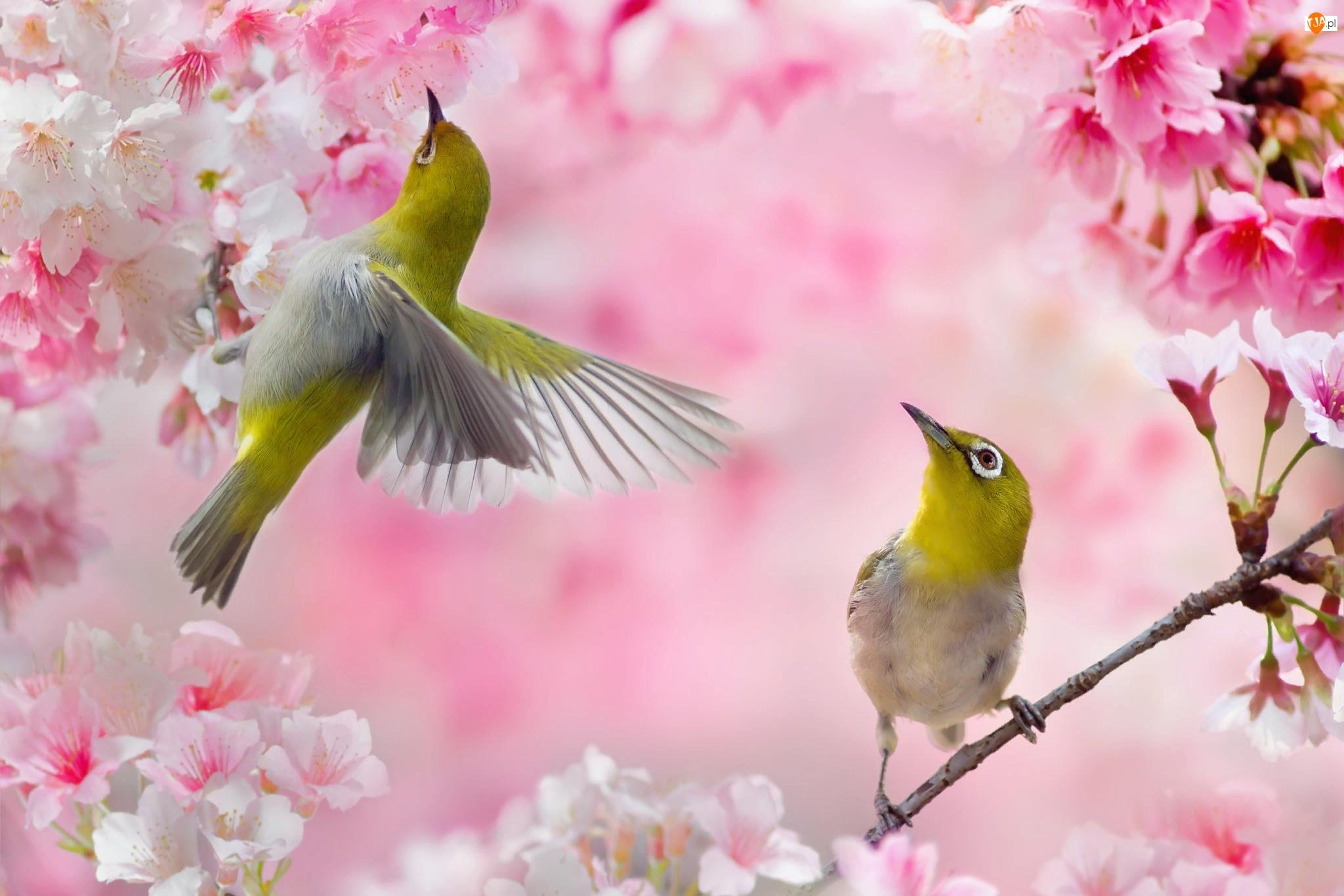 Ptaki, Szlarniki, Kwiaty, Dwa, Różowe, Gałązki, Okwiecone
