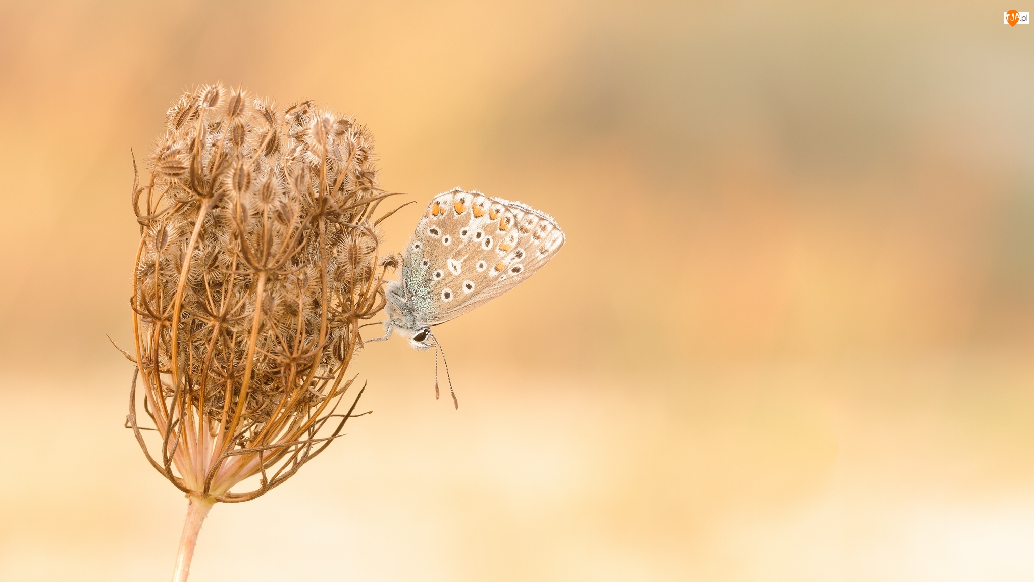 Modraszek ikar, Roślina, Marchew zwyczajna, Motyl