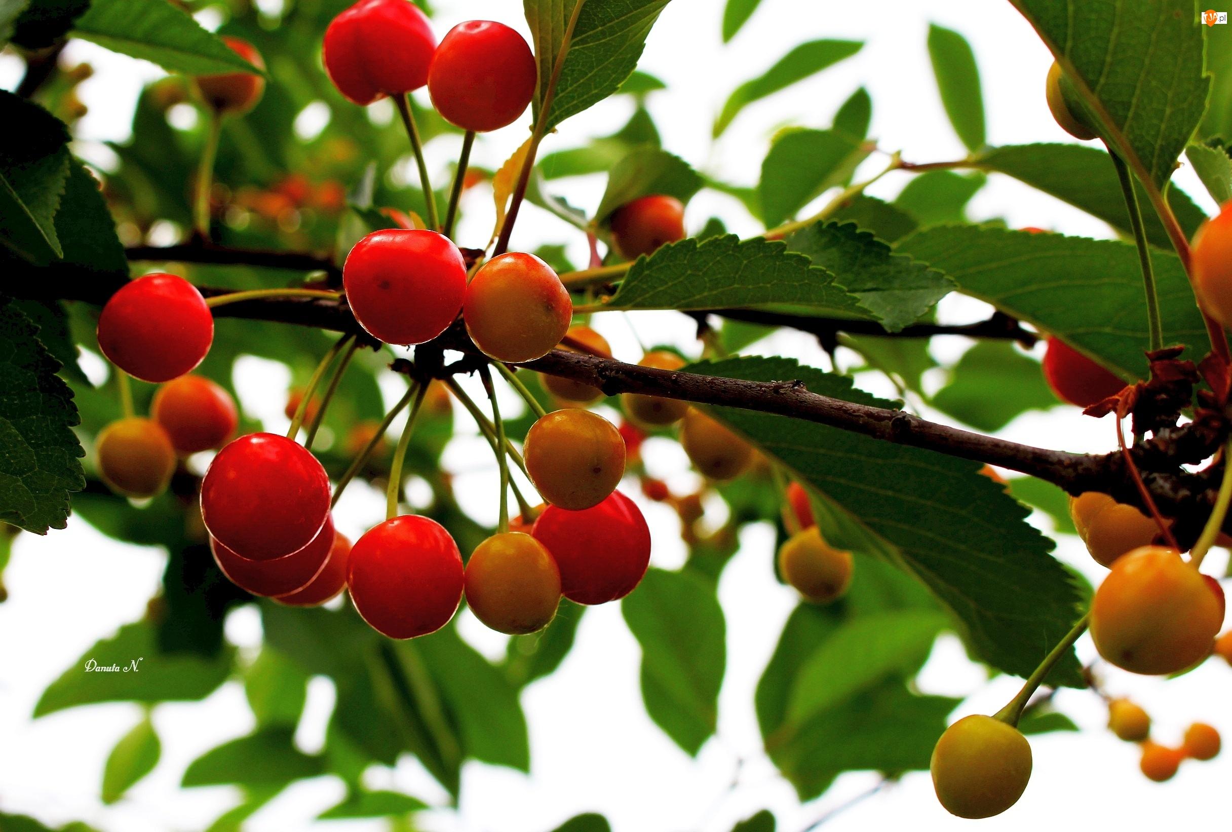 Czereśnie, Owoce