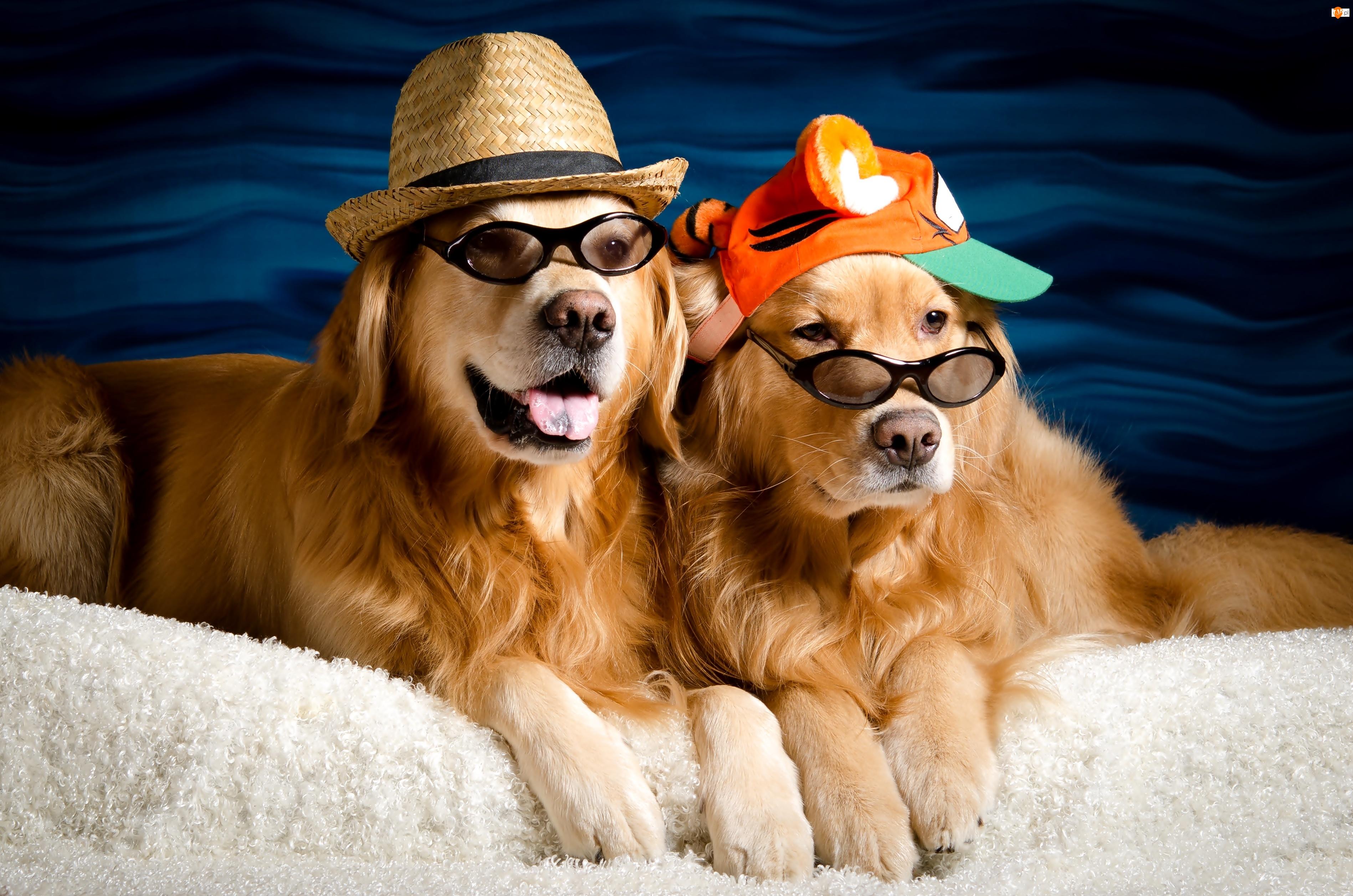 Psy, Dwa, Kapelusz, Okulary, Golden, Czapka