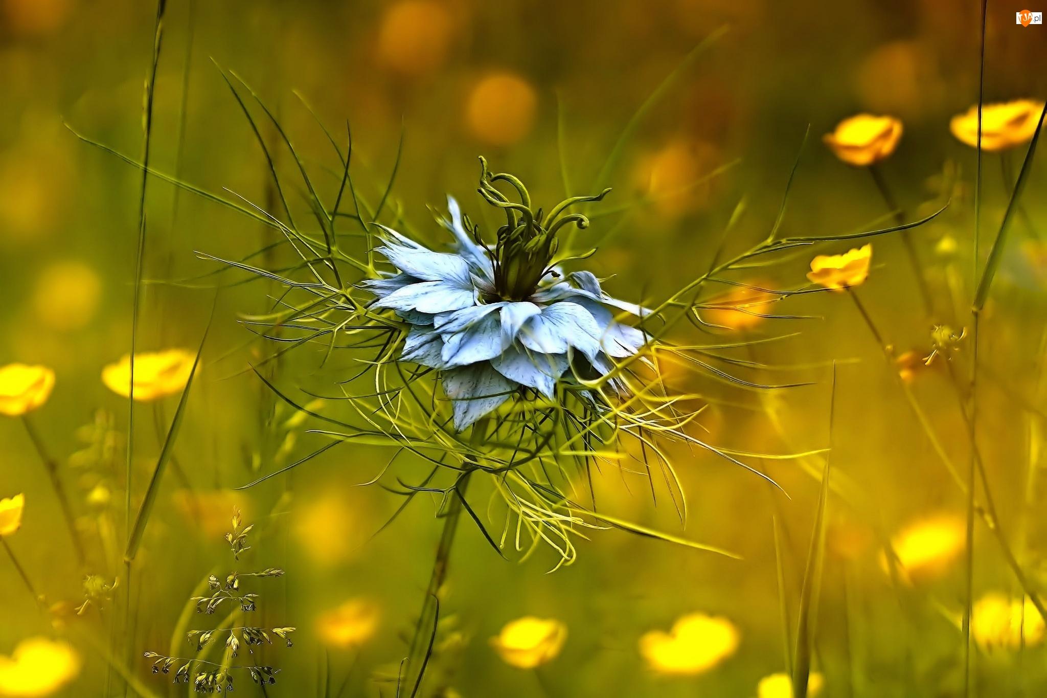 Czarnuszka, Kwiat