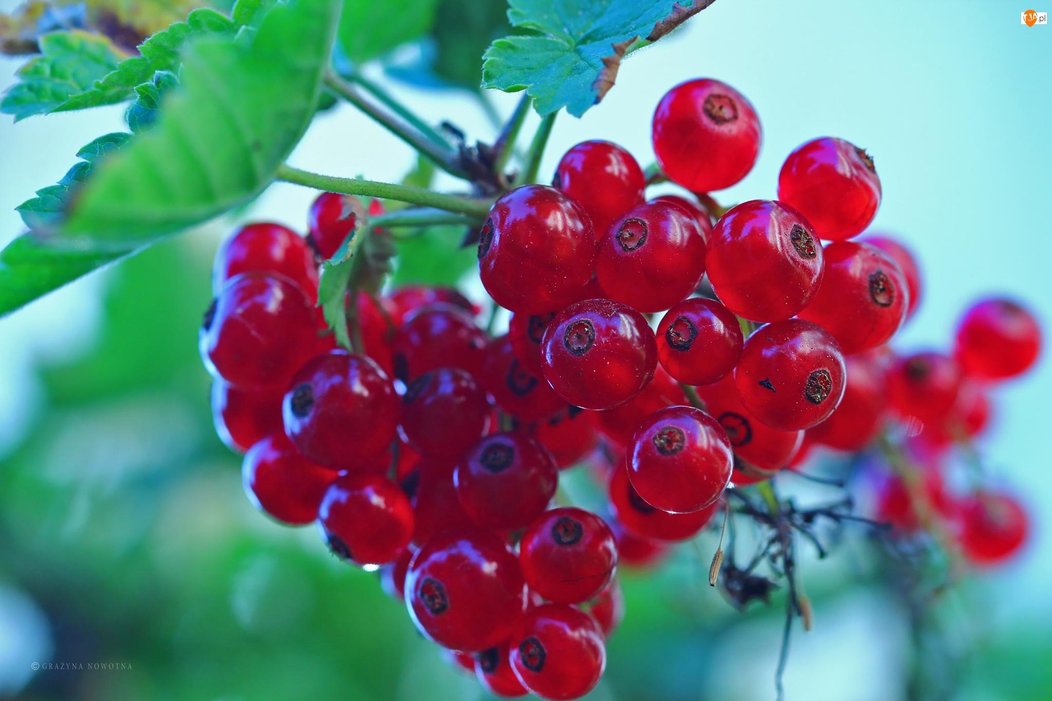 Owoce, Czerwone Porzeczki