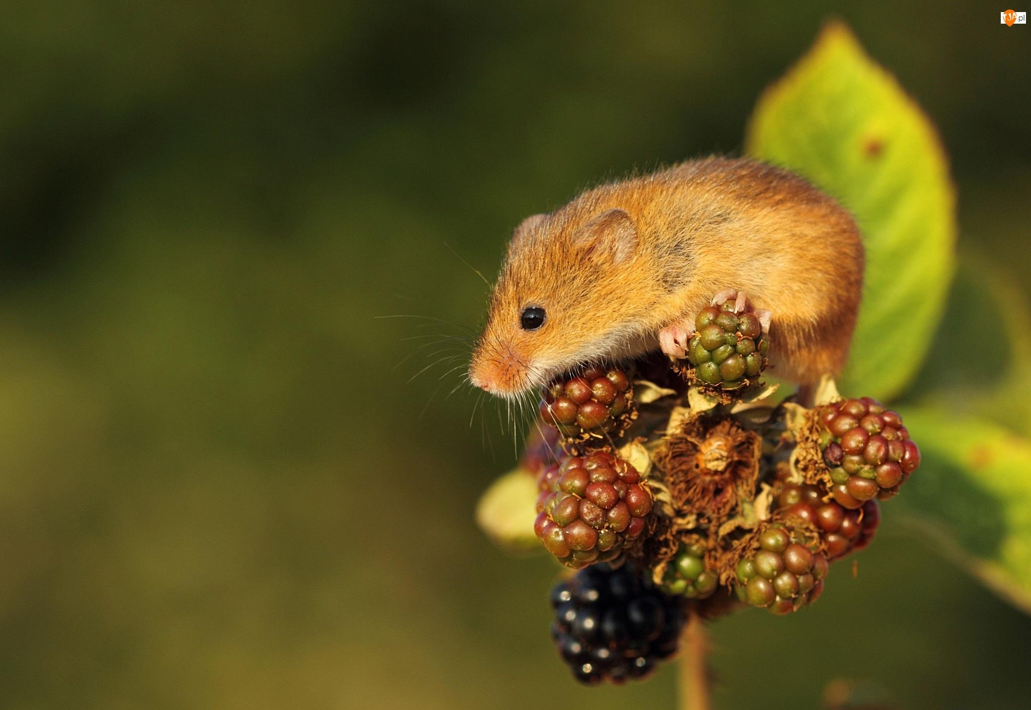 Jeżyny, Mała, Myszka