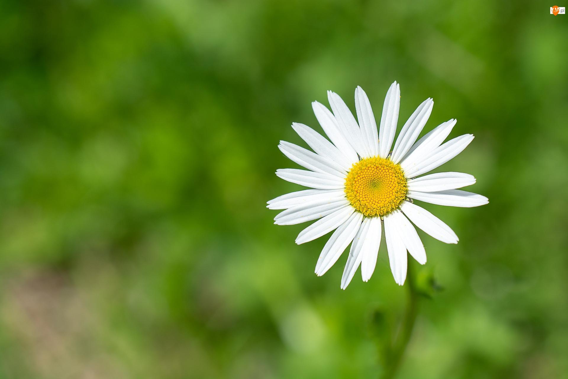 Białe, Kwiat, Zielone, Margerytka, Płatki, Tło