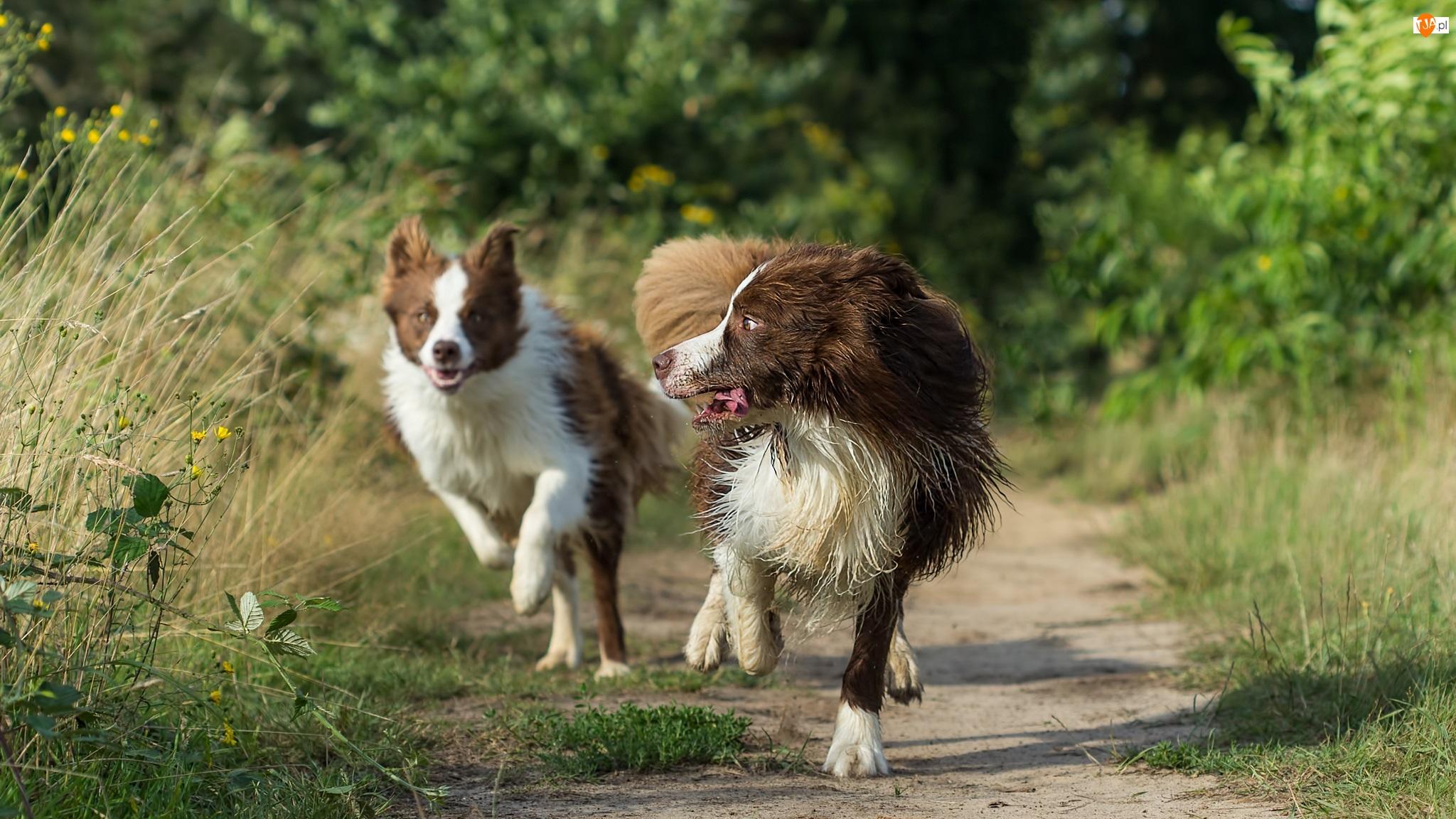 Border collie, Ścieżka, Biegnące, Psy, Trawy