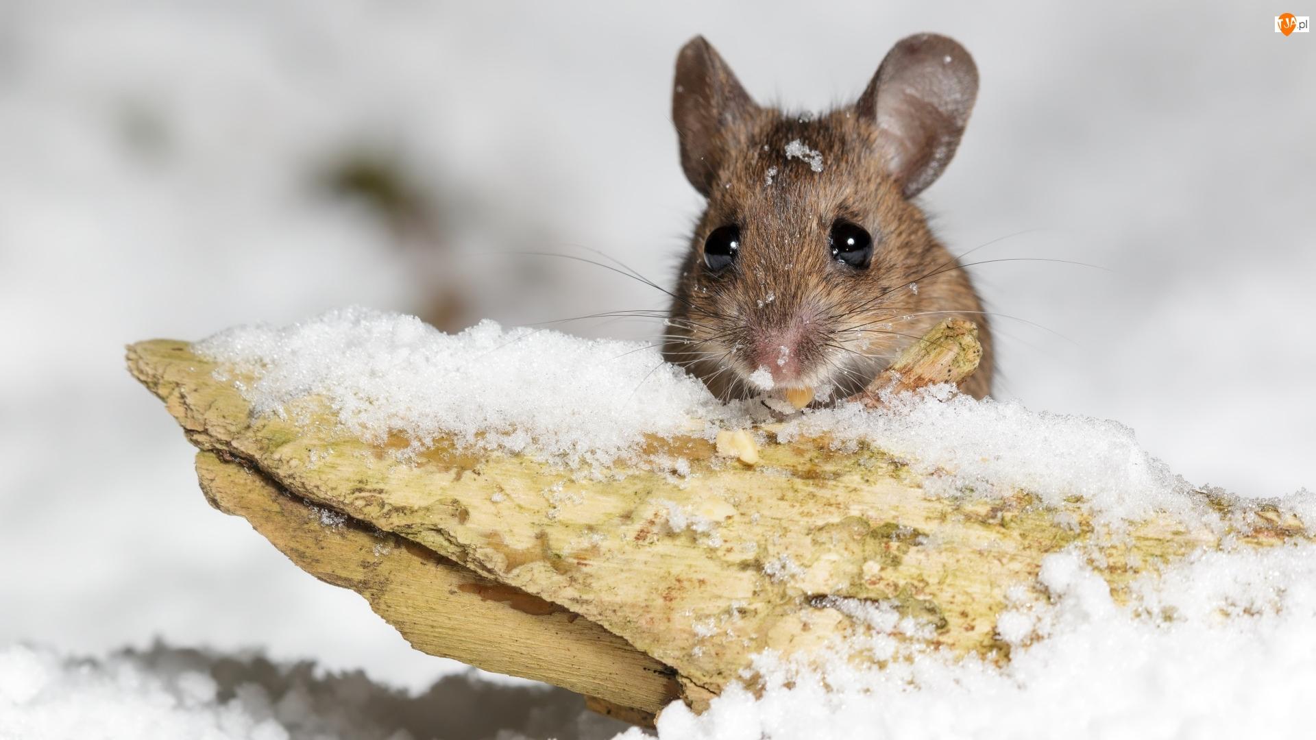 Zima, Myszka, Drewienko, Śnieg