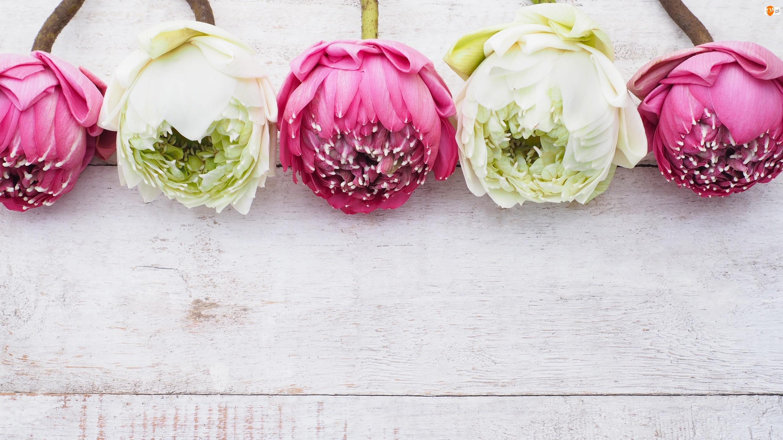 Kwiaty, Deski, Różowe, Białe, Lotosy