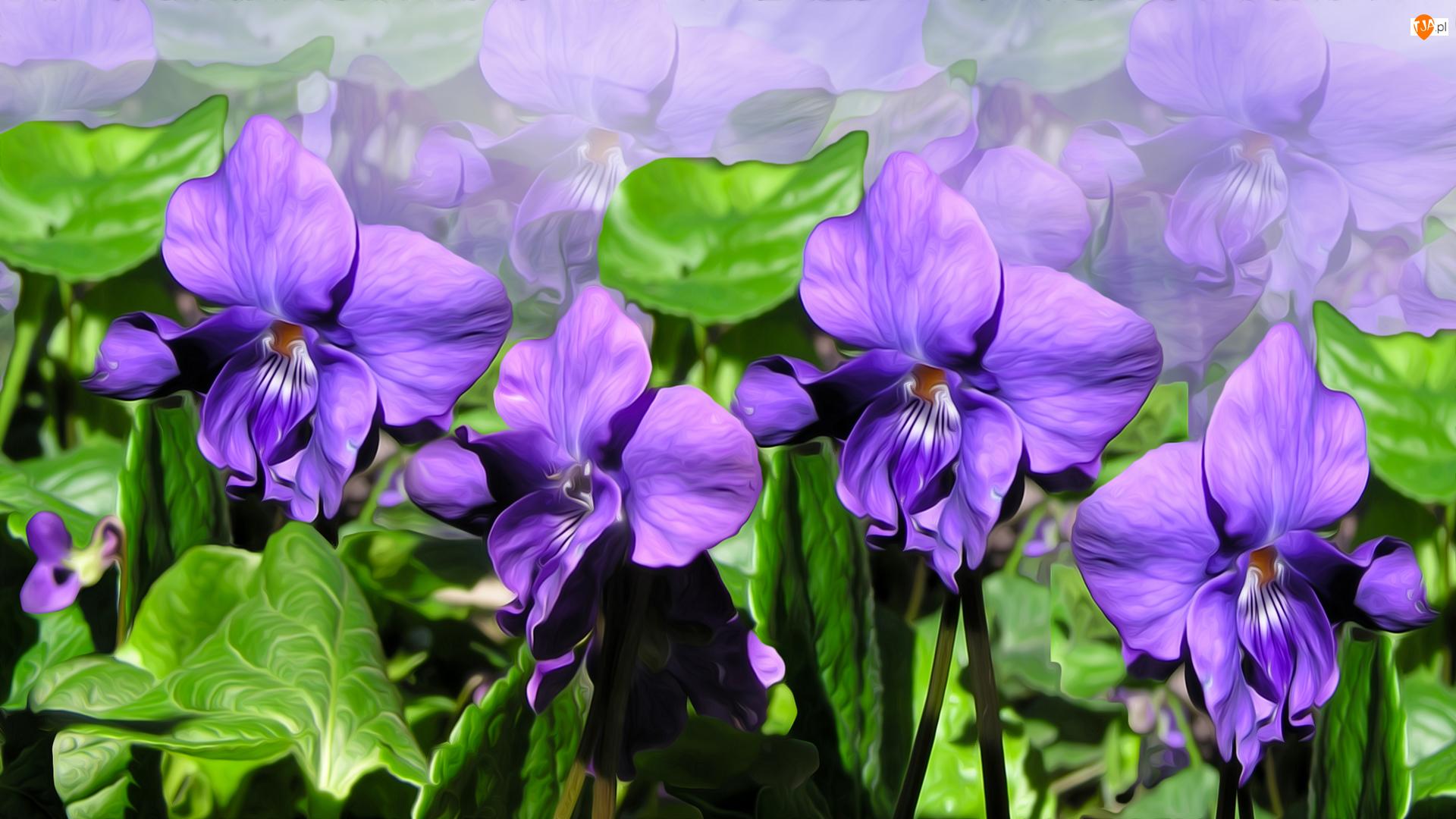 Grafika, Fioletowe, Kwiaty, Fiołki wonne
