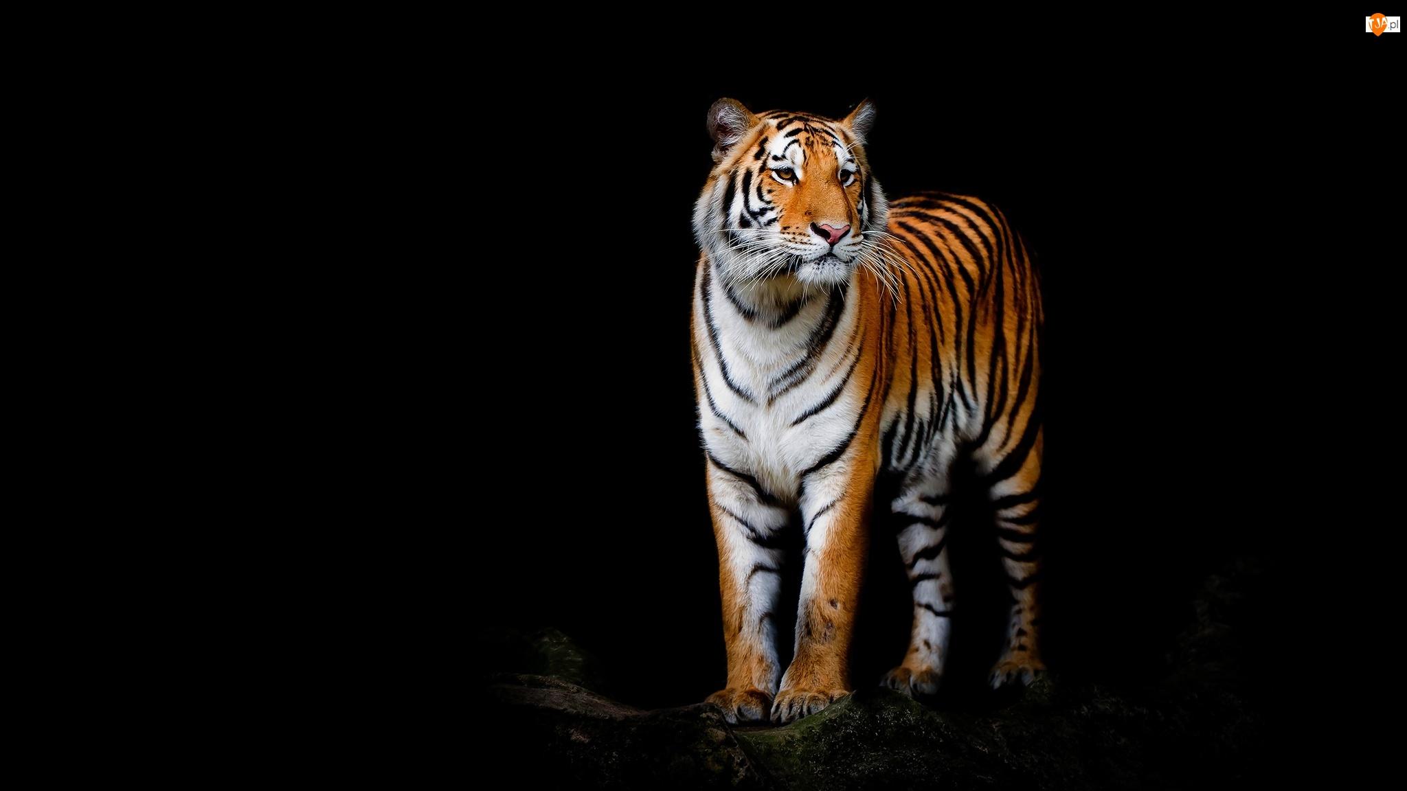 Czarne tło, Tygrys