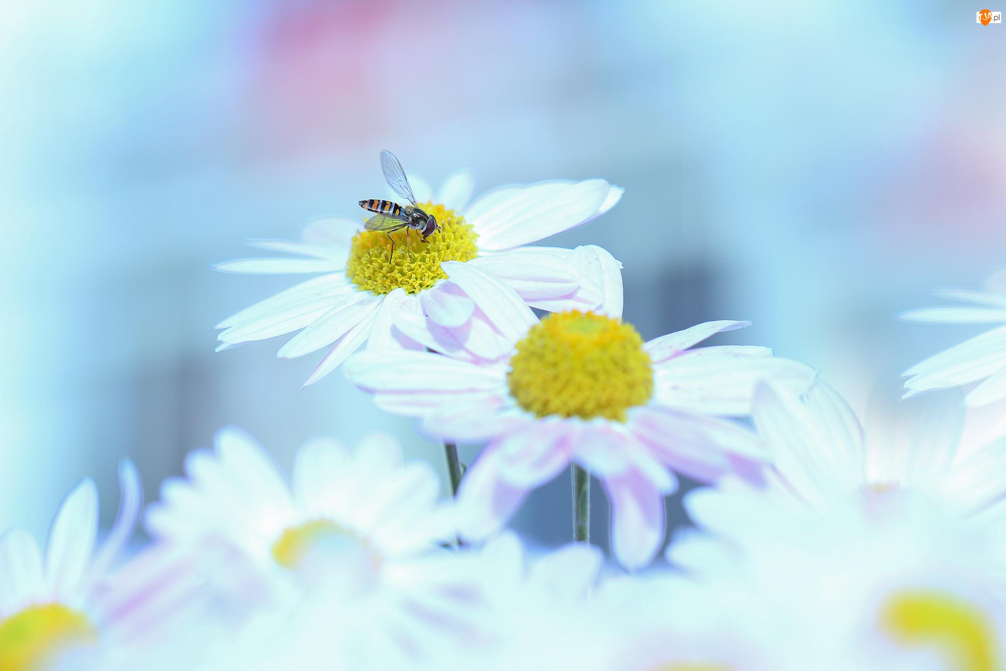 Bzyg prążkowany, Chryzantemy Zawadzkiego, Kwiaty, Owad