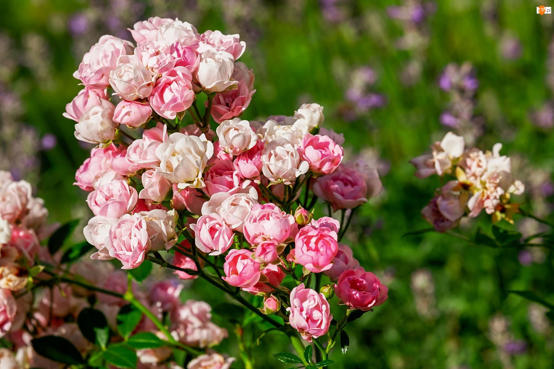 Rozmyte tło, Krzew, Róże