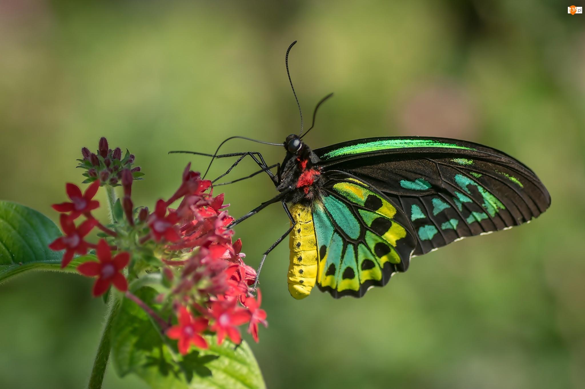 Australijski, Kolorowy, Cairns Birdwing, Czerwony, Motyl, Kwiat