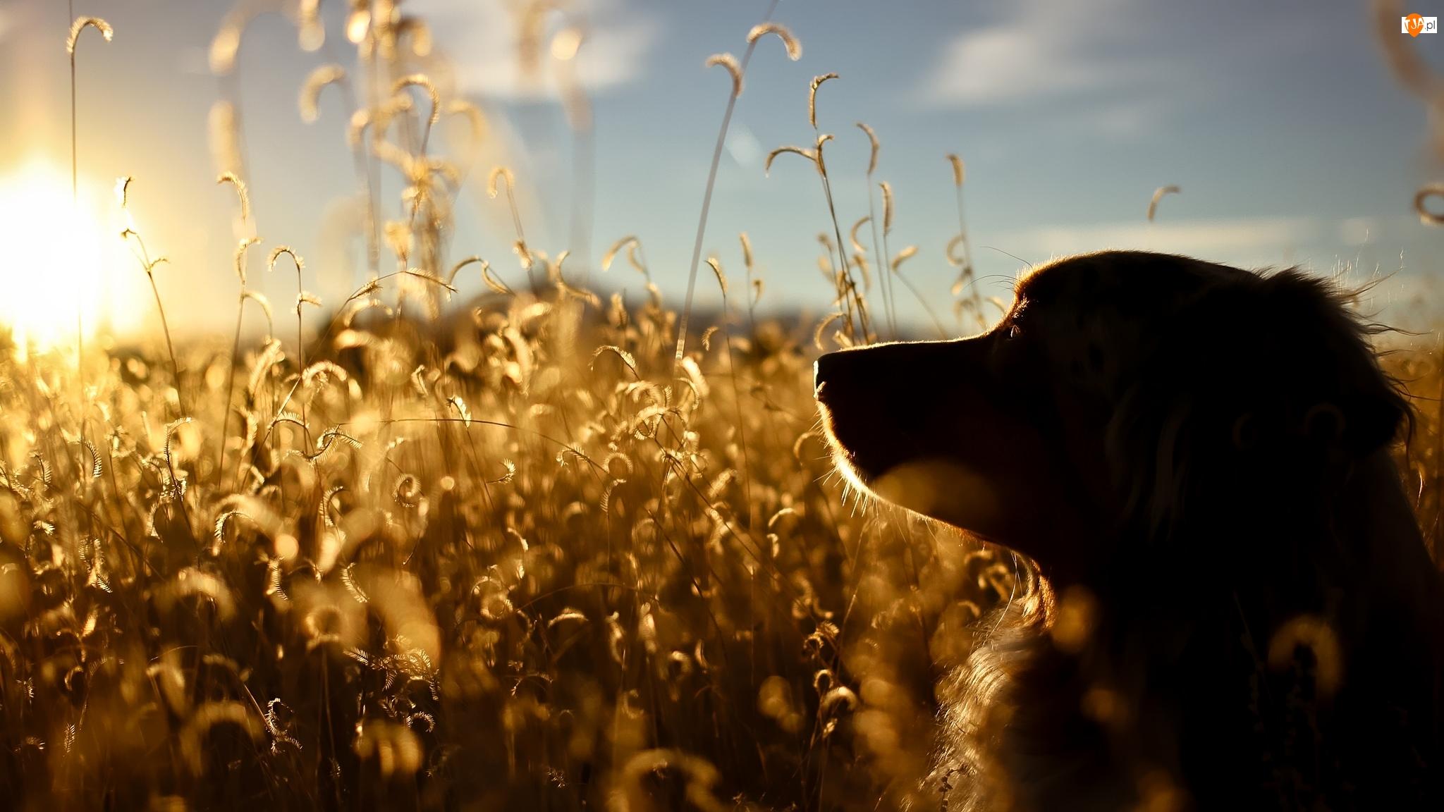 Rośliny, Słońce, Mordka, Pies, Łąka