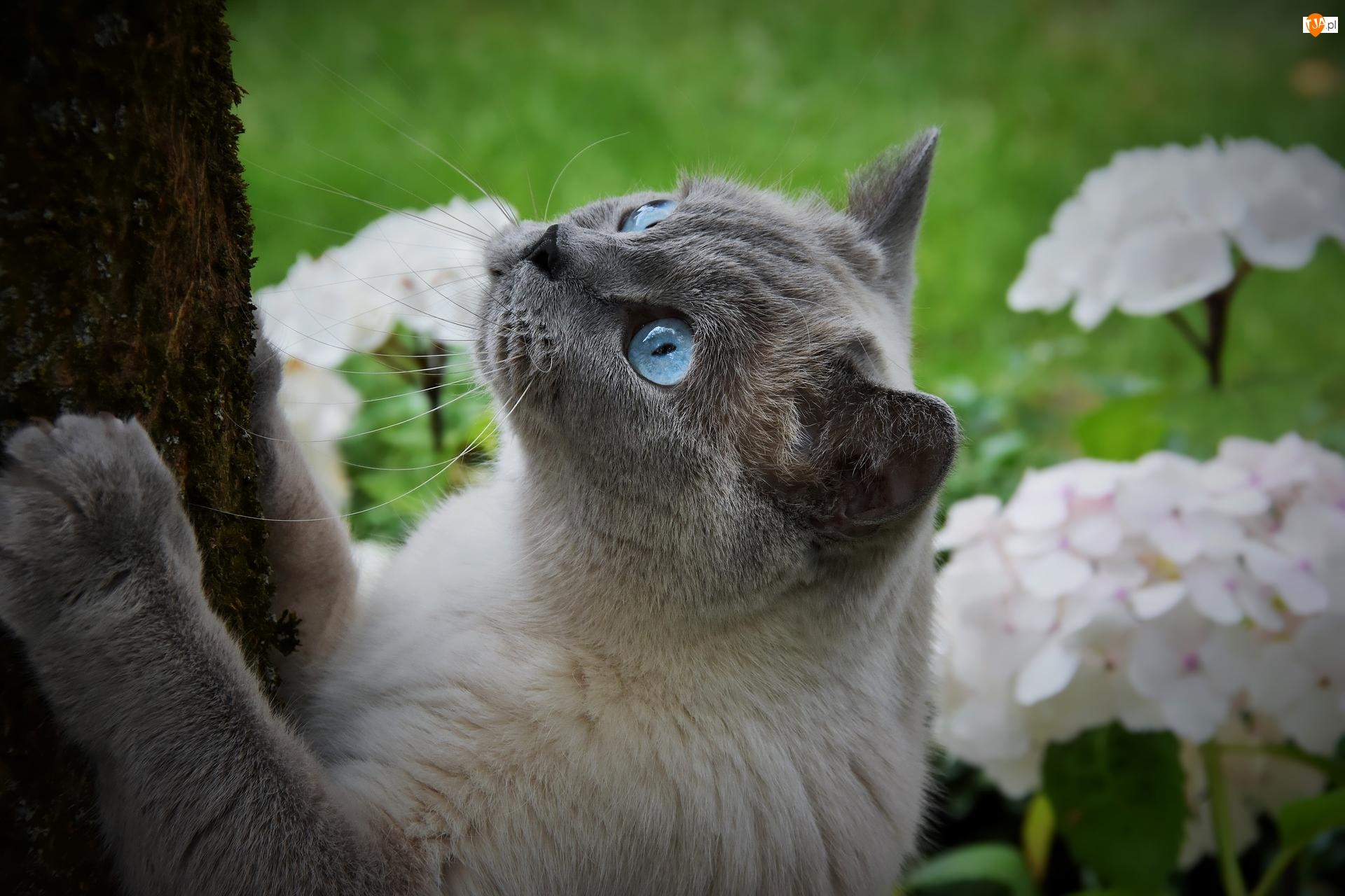 Pień, Kot, Niebieskie, Oczy