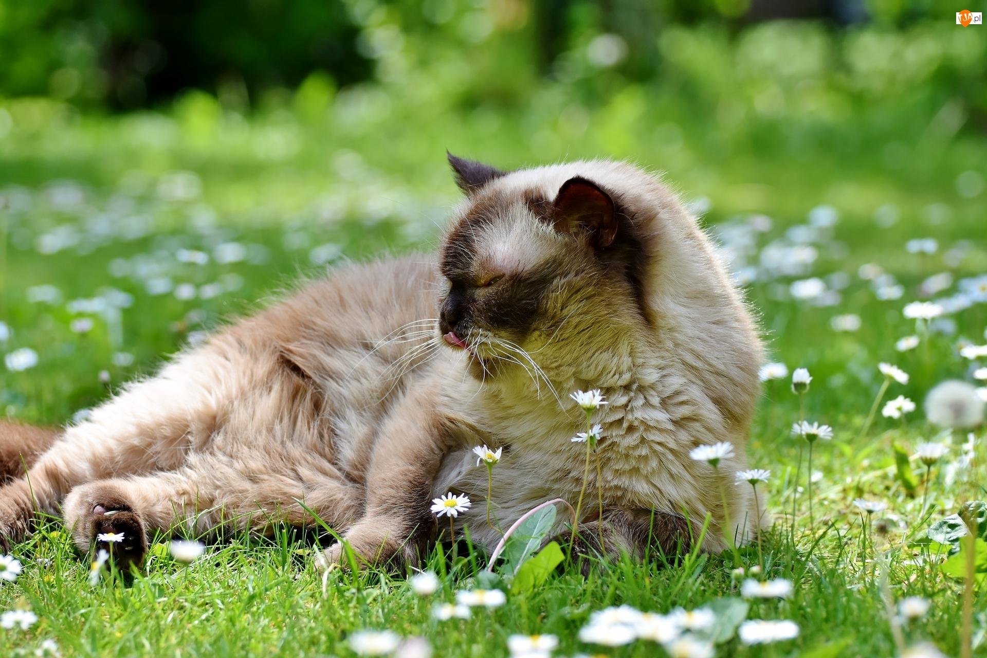 Stokrotki, Kot brytyjski krótkowłosy, Kwiatki