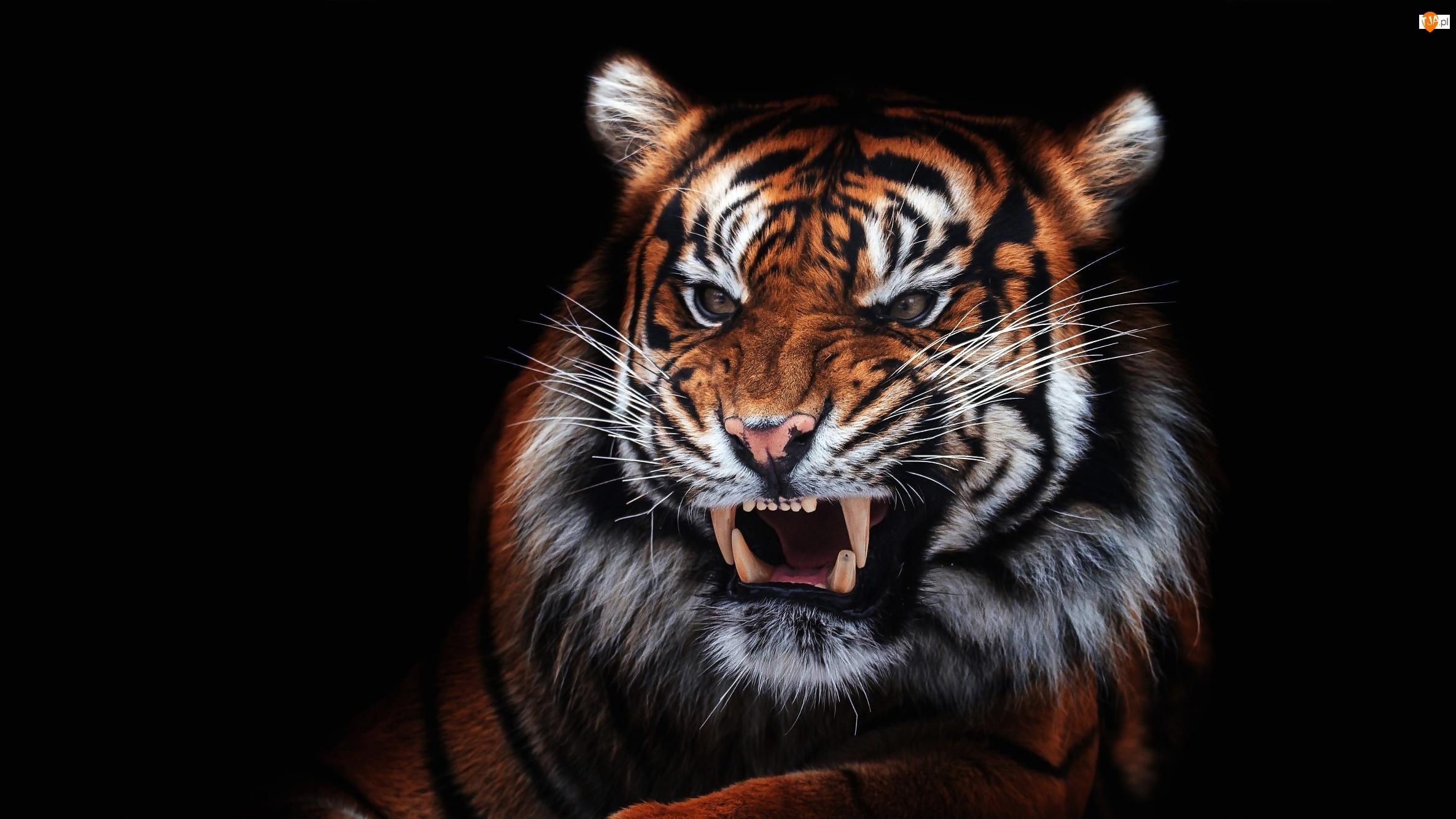 Czarne tło, Tygrys, Kły