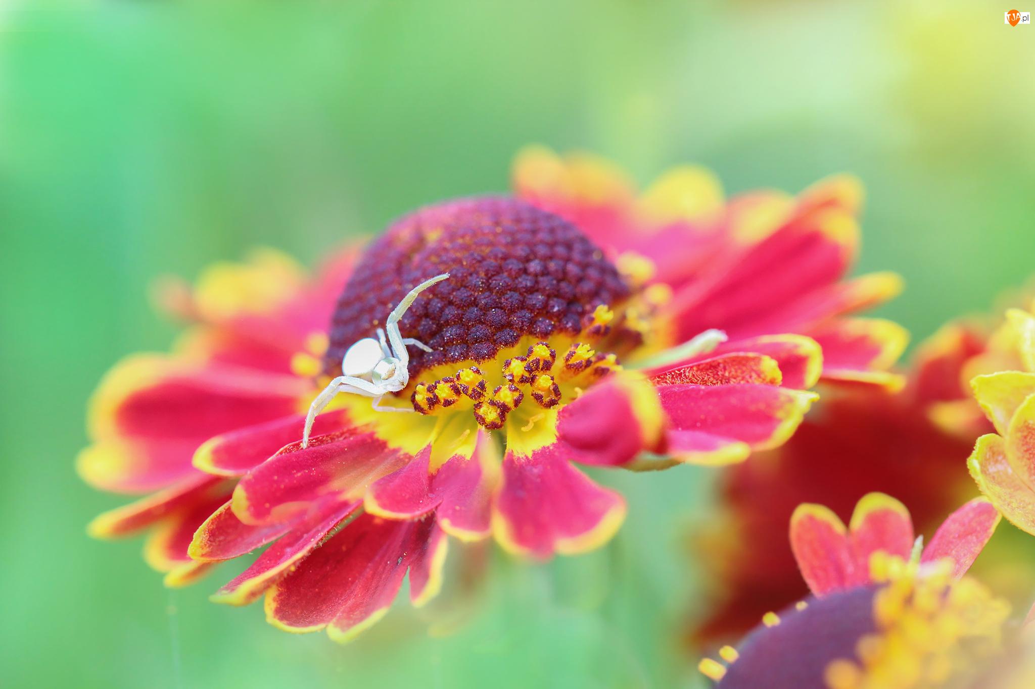 Kwiat, Dzielżan ogrodowy, Pająk